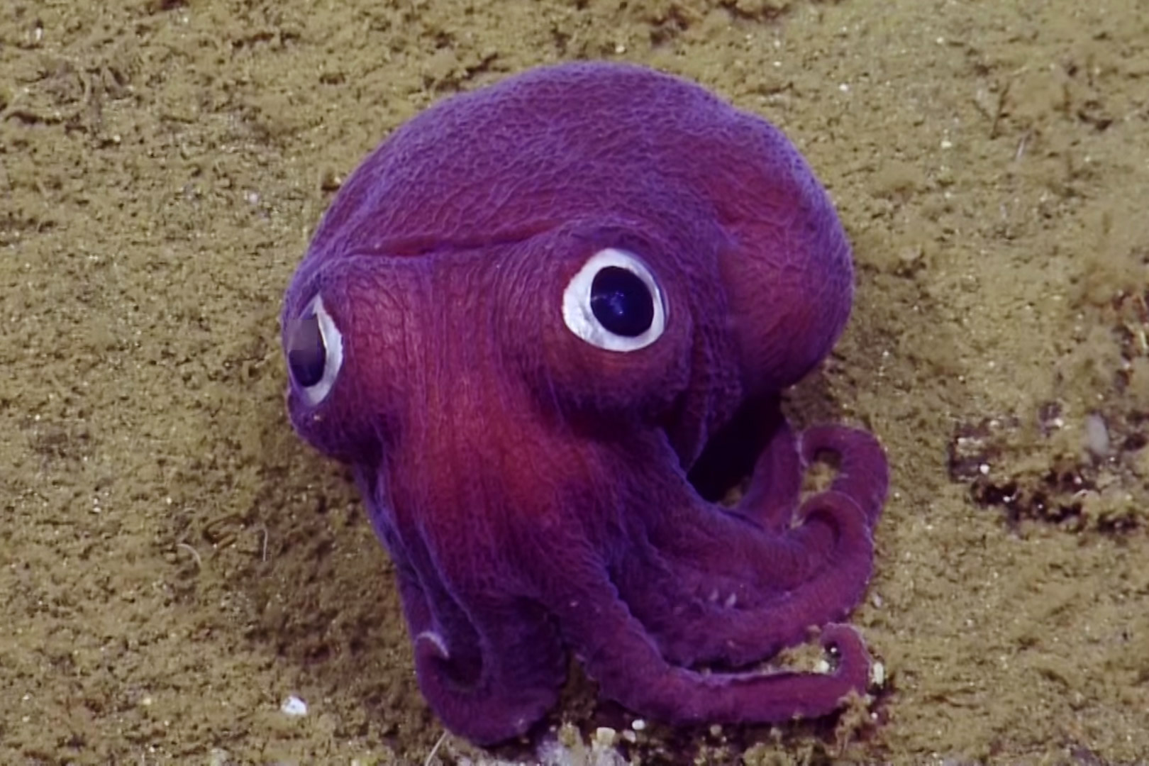 The friendly-looking Rossia pacifica - or 'stubby squid' - resembles both an octopus and a squid, but is in fact more closely related to cuttlefish