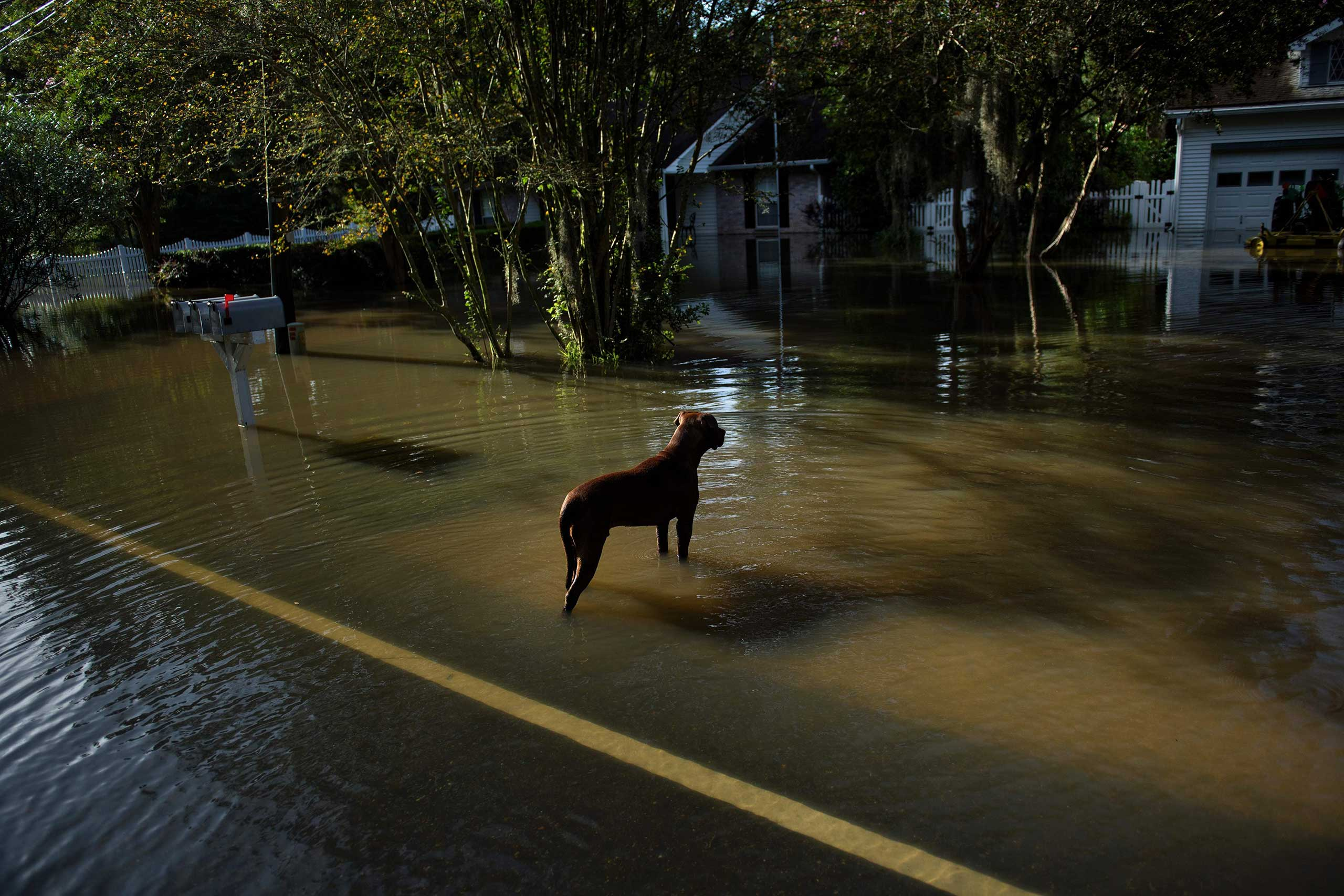 A dog wanders through a flooded neighborhood in Gonzales, La., on Aug. 16, 2016.