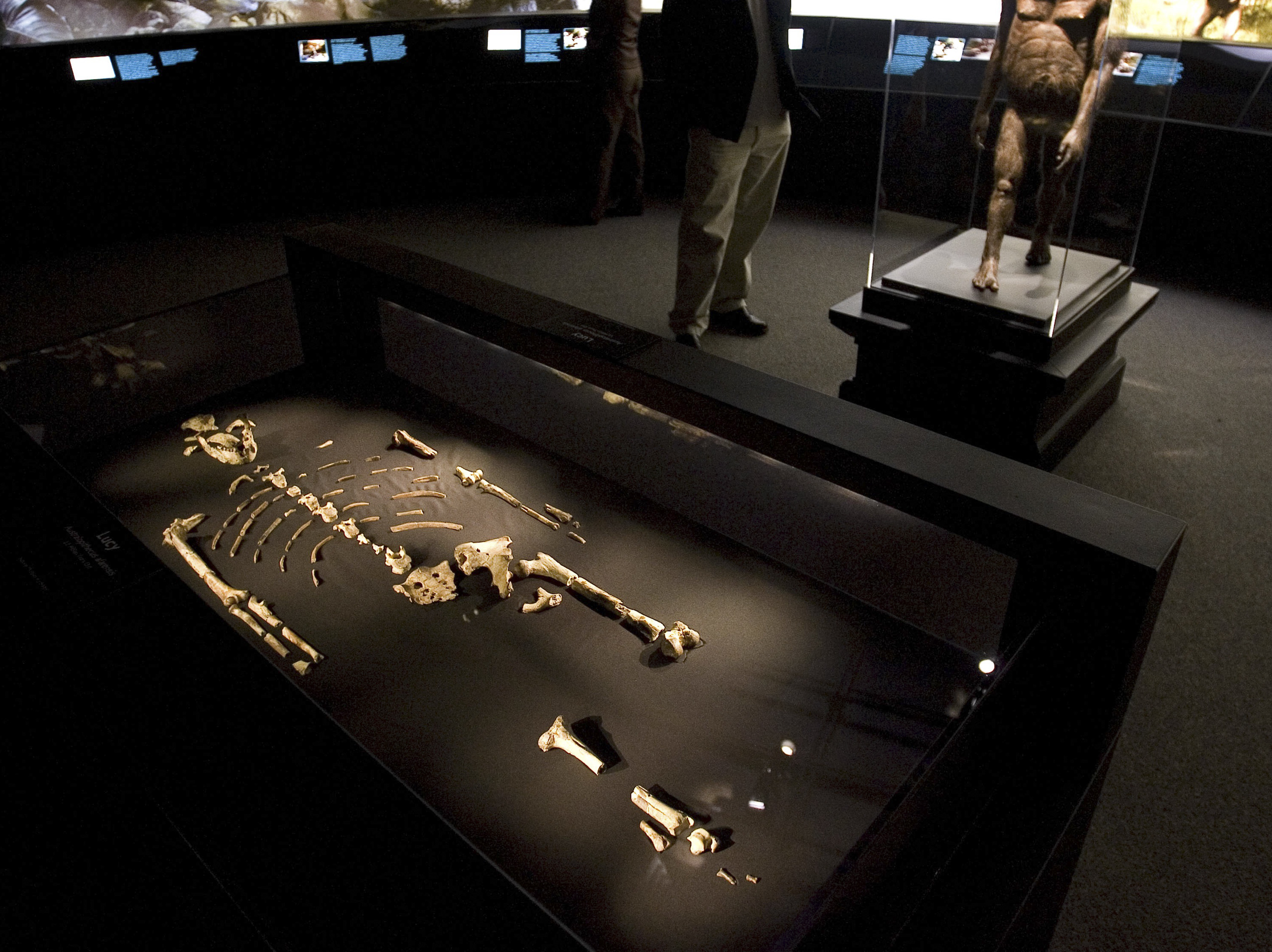 The 3.2 million year old fossilized remains of  Lucy , the most complete example of the hominid Australopithecus afarensis, is displayed at the Houston Museum of Natural Science in Houston on Aug. 28, 2007.