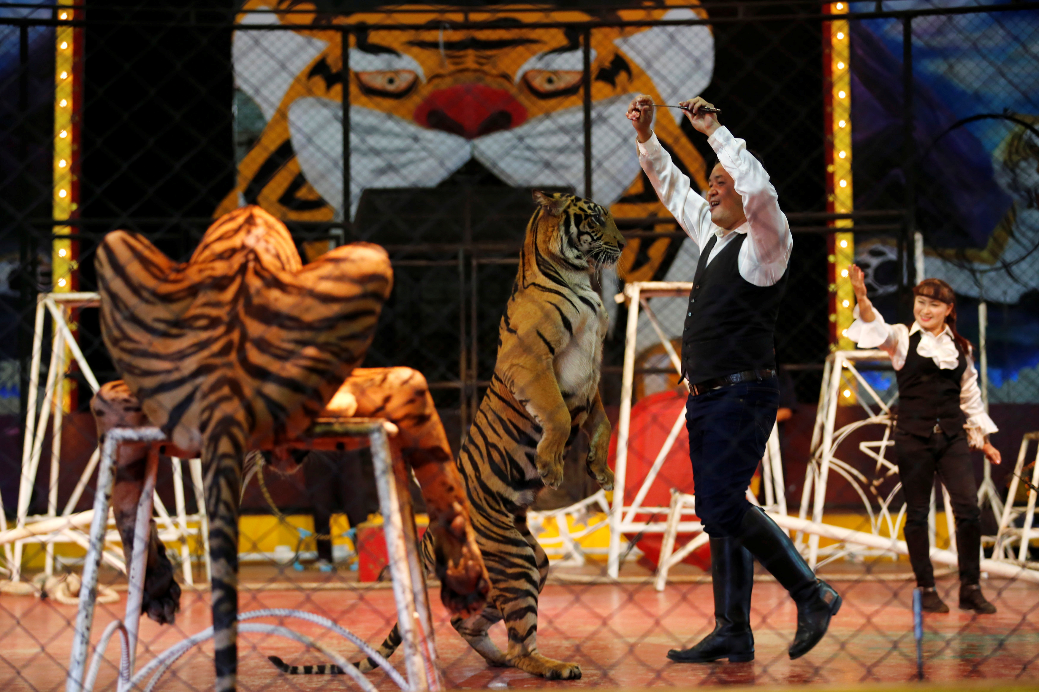 A trainer plays with a tiger during a performance for tourists at Sriracha Tiger Zoo, in Chonburi province, Thailand, on June 7, 2016