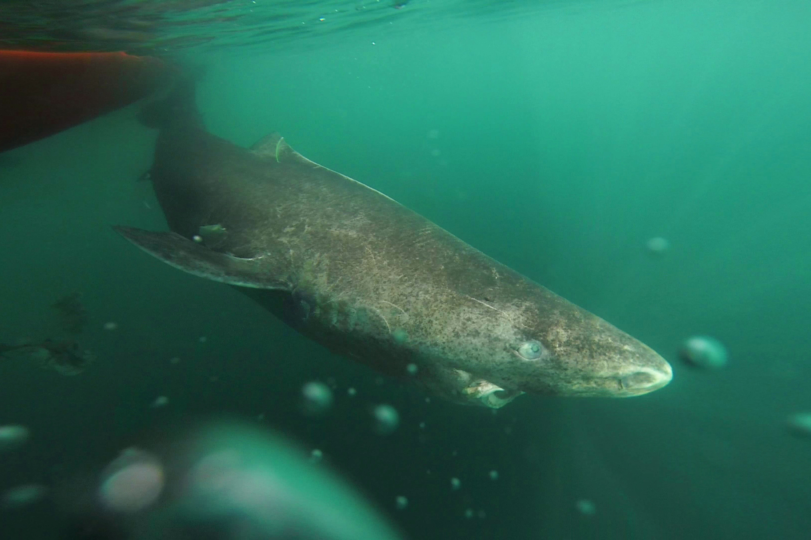 The eyes tell the tale:  Greenland sharks may live to be 400 years old