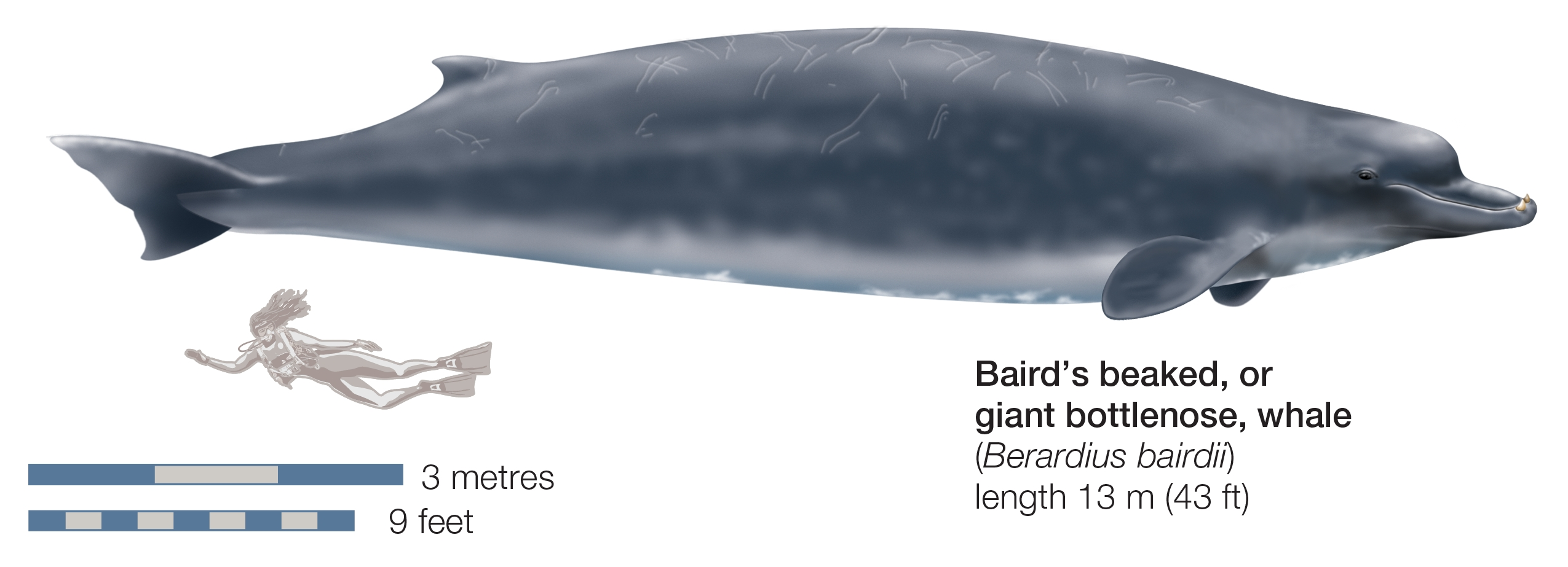 Close kin: The Baird's whale—a bigger, lighter relation to the new karasu species