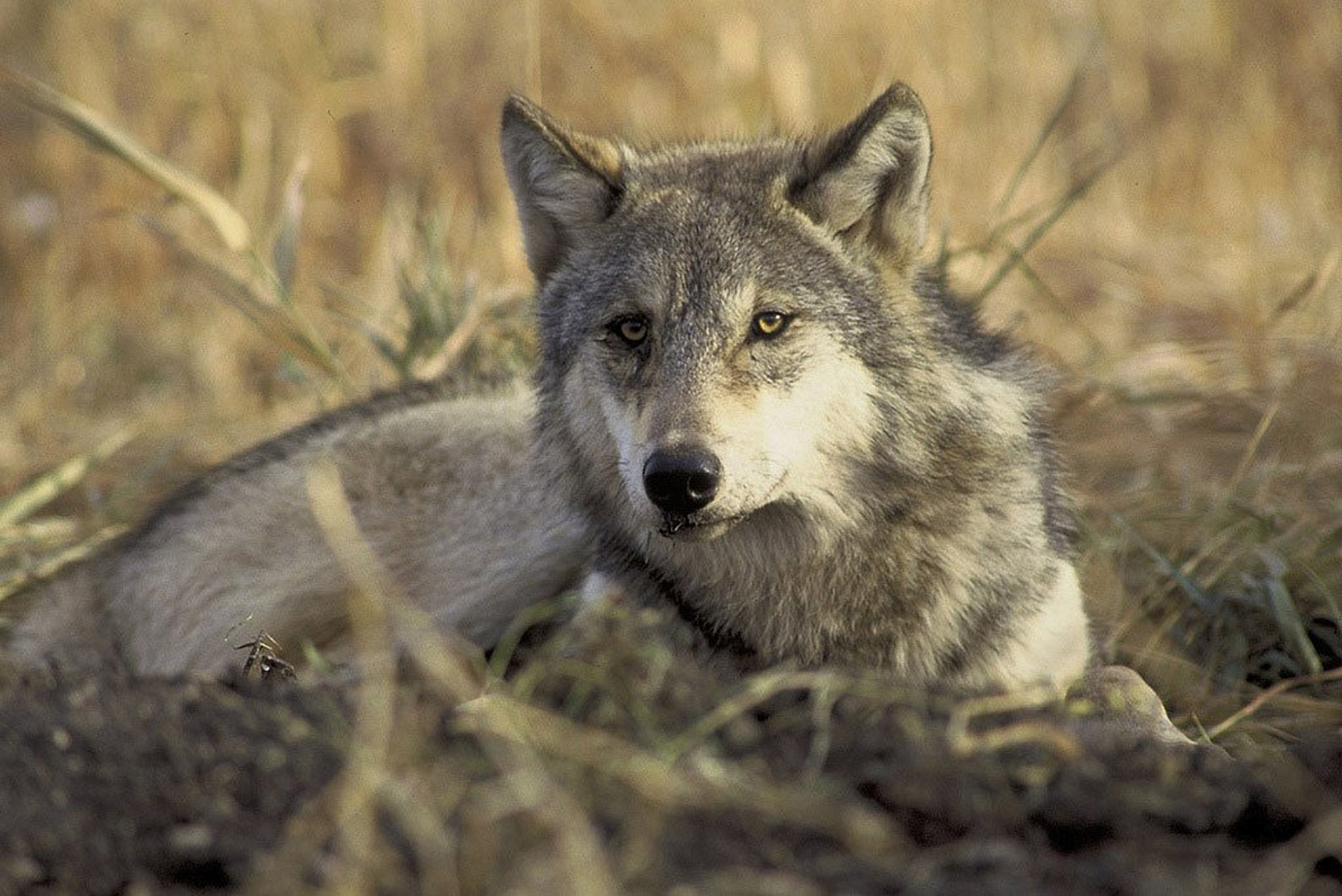 An endangered gray wolf is pictured in this undated handout photo from the U.S. Fish and Wildlife Service.