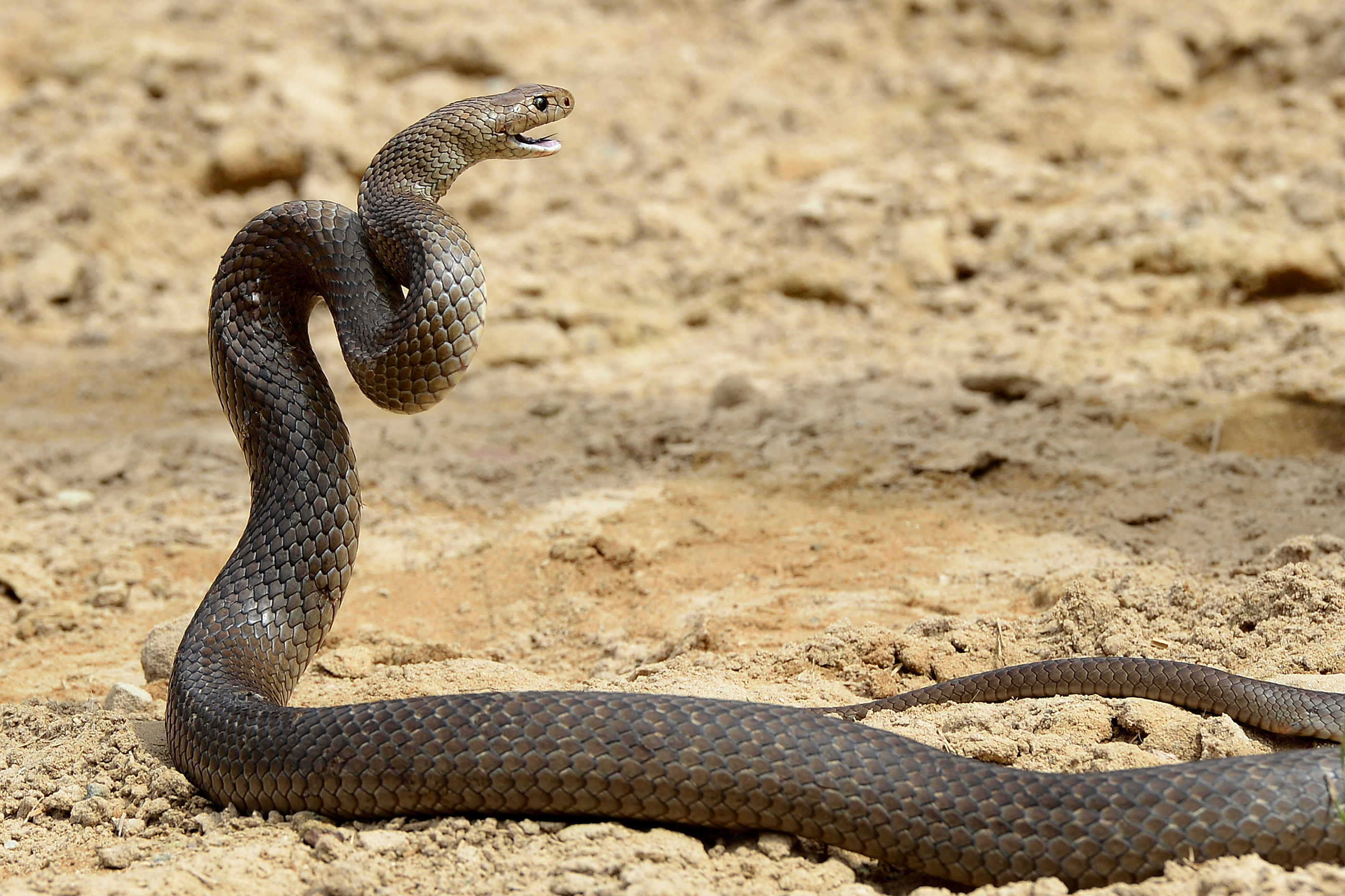 A deadly Australia eastern brown snake like this one can kill up to 20 adults. The brown rat snake found in Japan, meanwhile, was practically harmless.