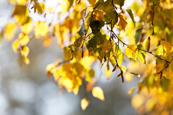 autumn, yellow coloured foliage
