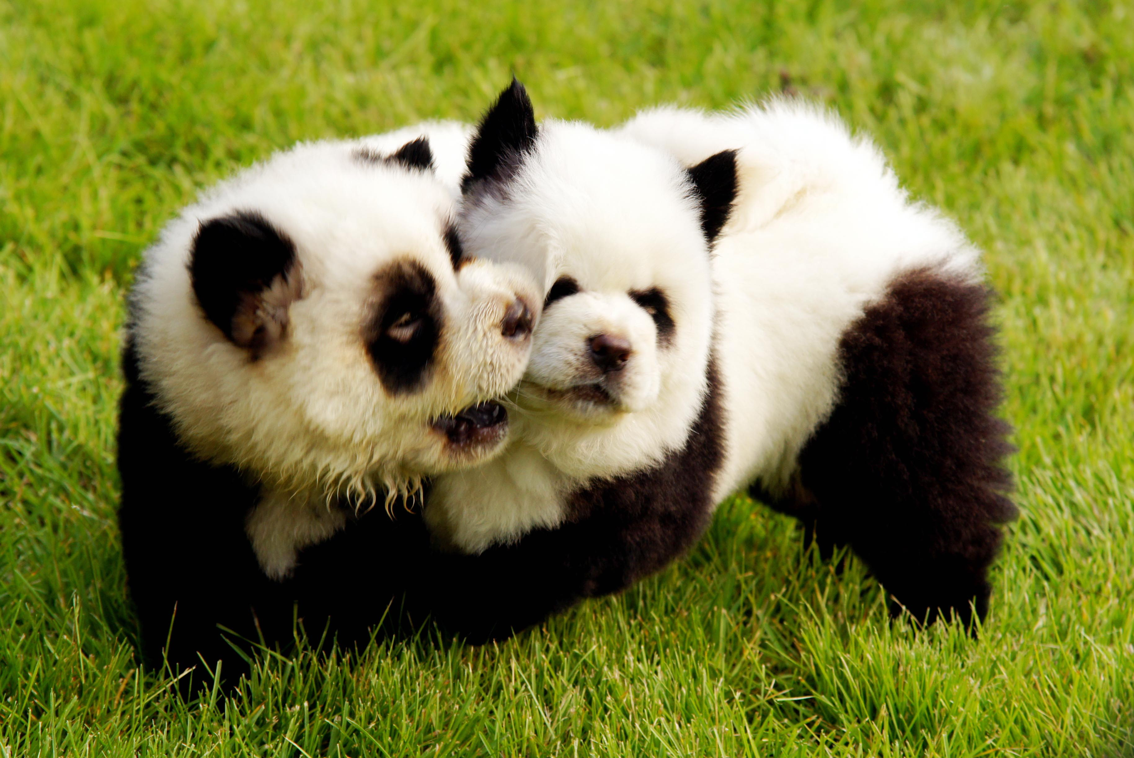 A dog is painted as a baby giant panda during the launch of a new pet park at Dahe Mincui Park on June 5, 2010 in Zhengzhou, Henan Province of China.