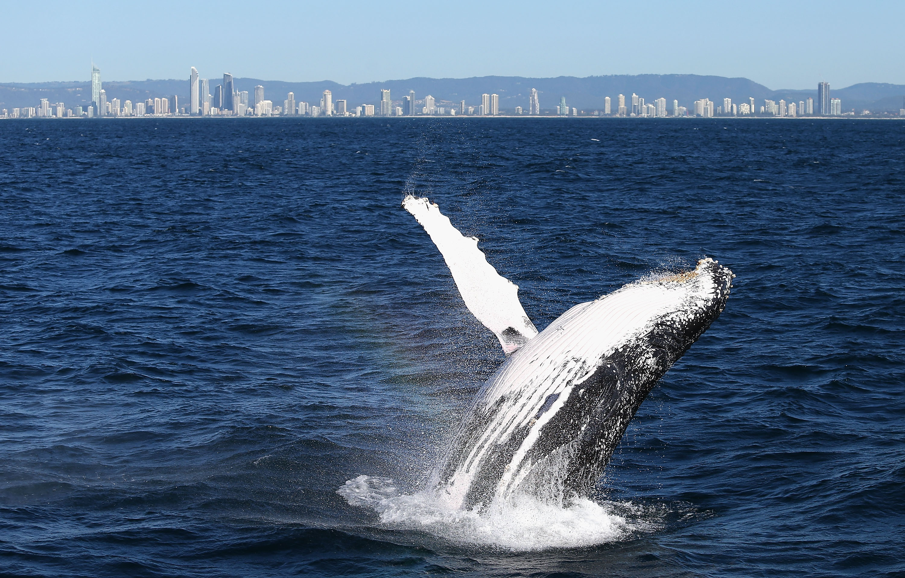 A humpback whale breaches on June 9, 2016 in Gold Coast, Australia.