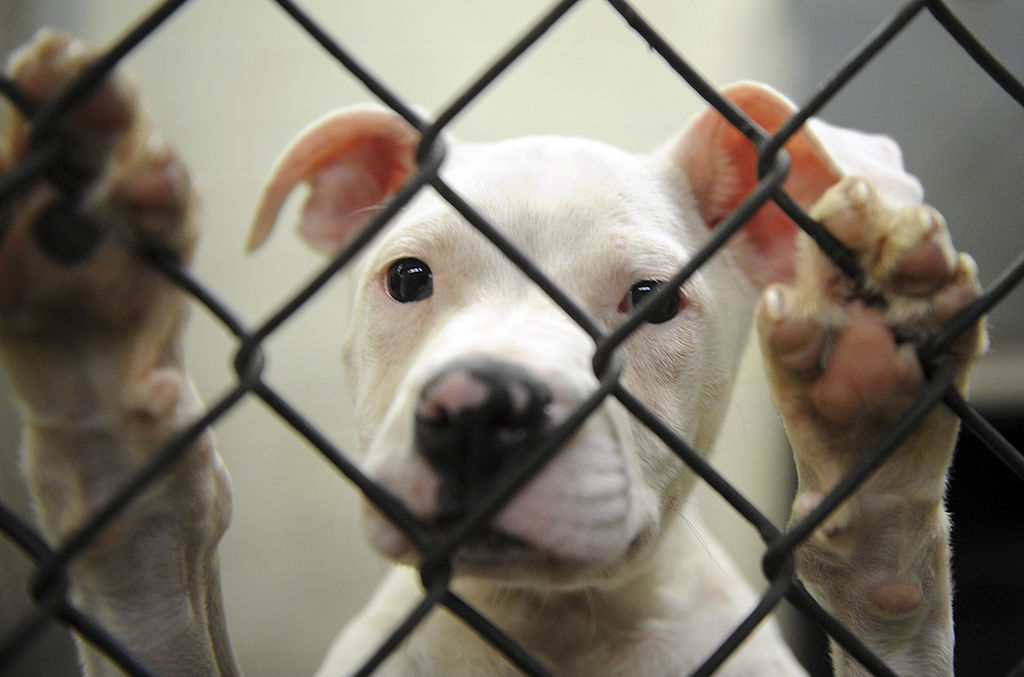 Wally, a pit-bull puppy, waits to be adopted at the DC Animal Shelter on June 16, 2008