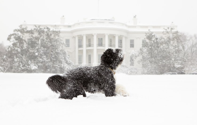 Bo, the Obama's family pet, plays in the snow during a blizzard on the south grounds of the White House, Feb. 10, 2010.