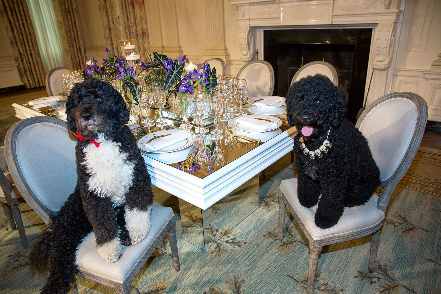 Obama family pets Bo, left, and Sunny sit at a table in the State Dining Room of the White House, Feb. 10, 2014. The table settings will be used at the State Dinner for President François Hollande of France.
