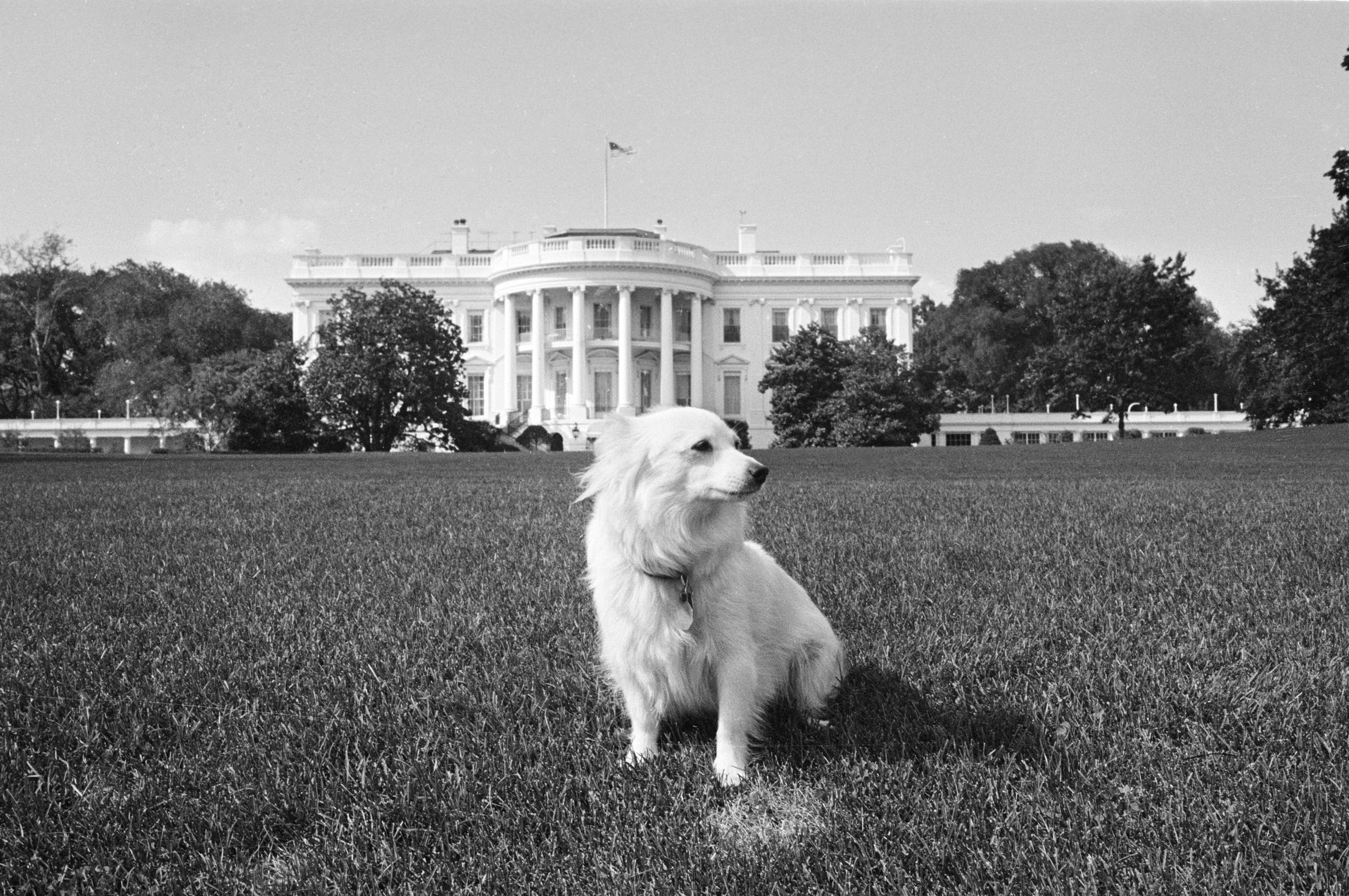 Pushinka, a gift to Presdient John F. Kennedy from Soviet Premier Nikita Khrushchev, stands on the White House lawn, Aug. 14, 1963, while the rest of the family's dogs vacation with the first family at Cape Cod. Pushinka is the offspring of Soviet space dog Stelka.