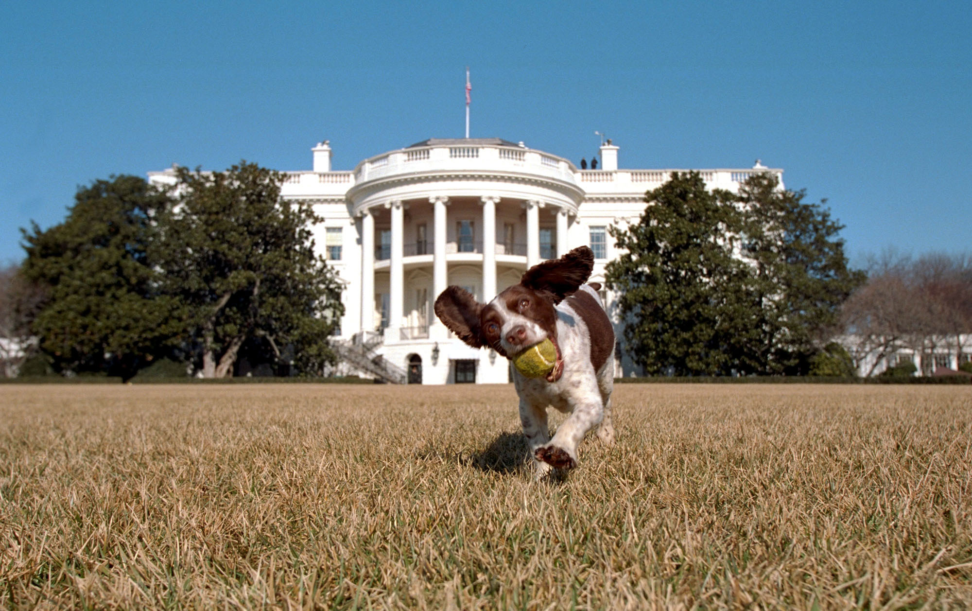 George W. Bush's dog, Spot, an English Springer Spaniel, plays on the south lawn of the White House on Jan. 23, 2001. Spot is the offspring of Millie, who was former President George Bush's family dog.