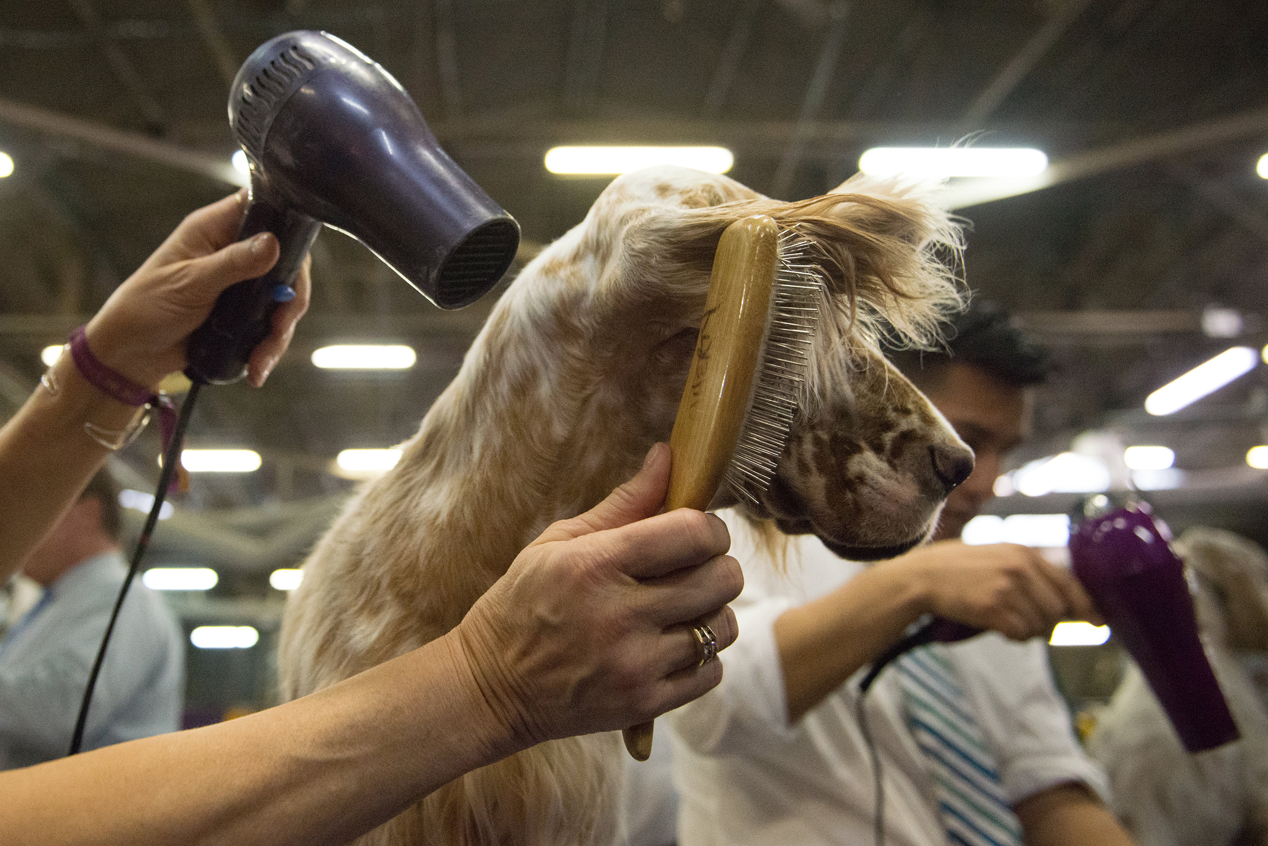 An American Cocker Spaniel gets its fur blown by a hair dryer in the grooming area on the second day of the 140th annual Westminster Kennel Club dog show in New York City on Feb. 16, 2016.