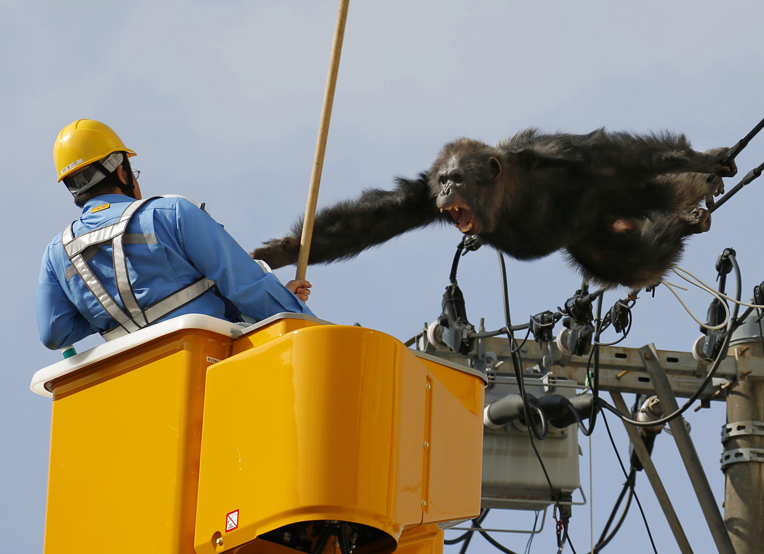 Male chimpanzee Chacha screams at a man trying to capture him on power lines in a residential area of Sendai, Japan, on April 14, 2016.