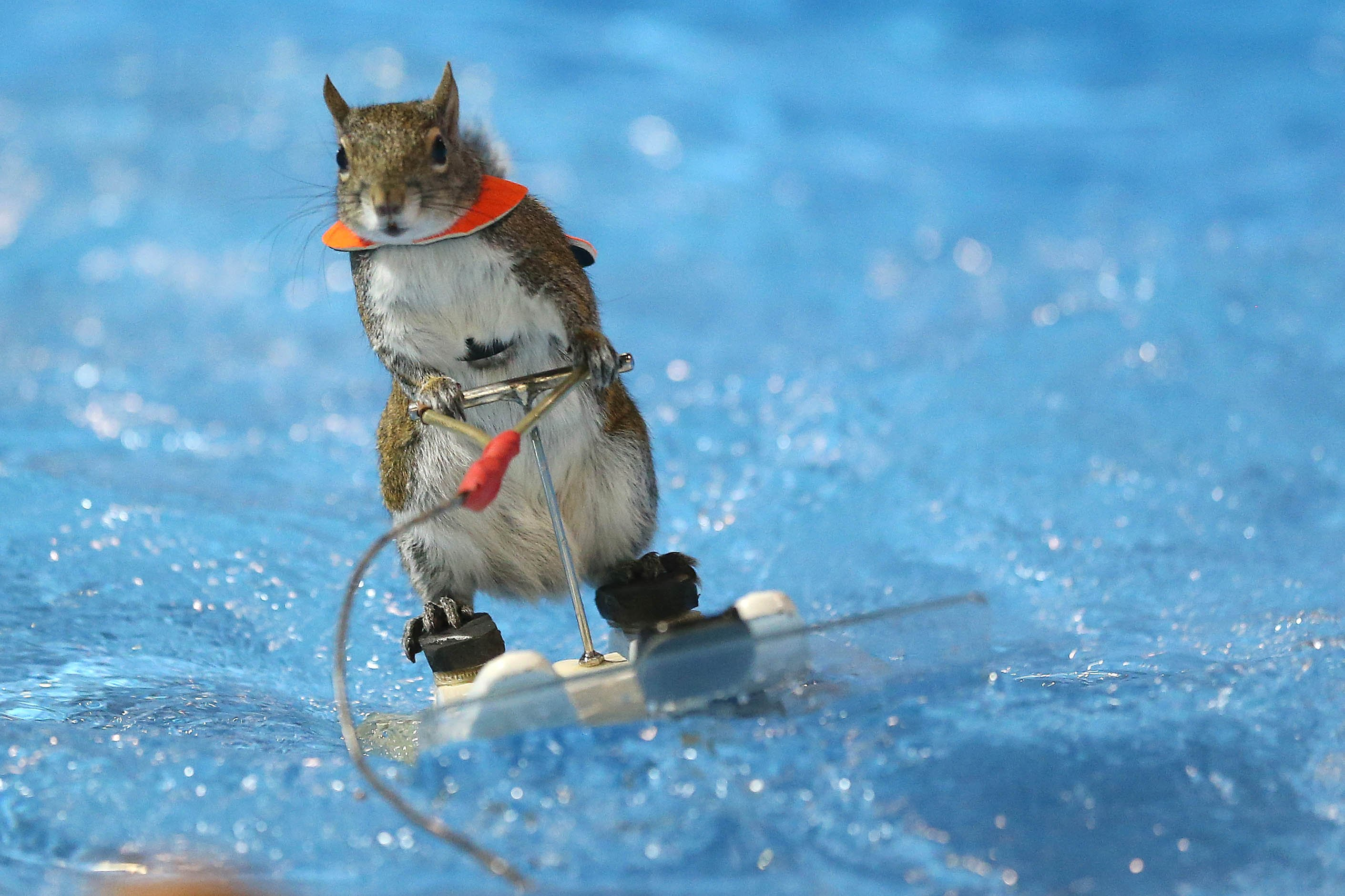 Twiggy the Water Skiing Squirrel gets in some practice runs before her shows at the Toronto International Boat Show in Toronto, Canada, on Jan. 7, 2016.
