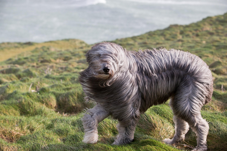 Bruno, a bearded collie cross, walks in the wind  in Cornwall, England, on Feb. 8, 2016.