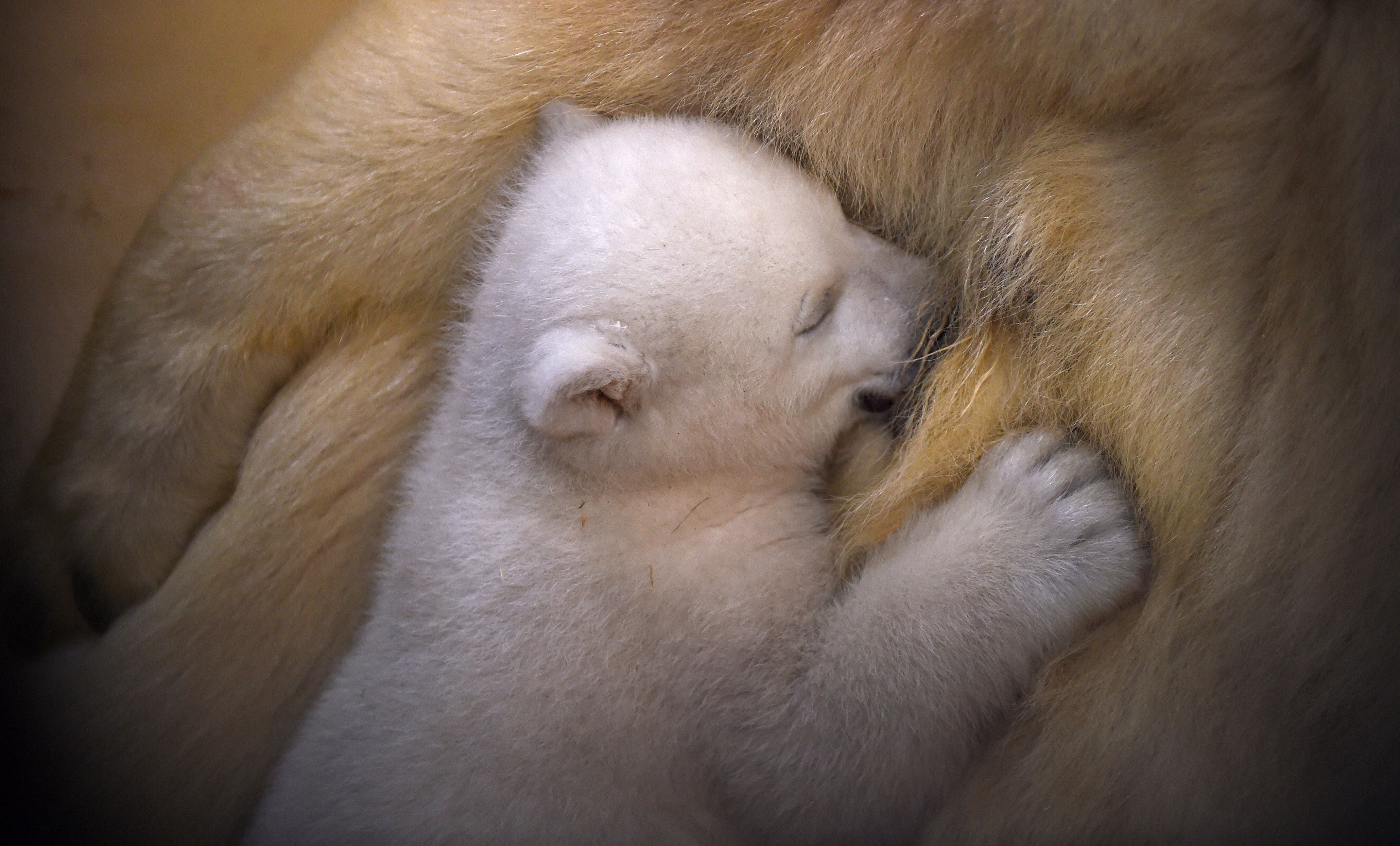 A female baby polar bear is fed by her mother in Bremerhaven, Germany, on March 9, 2016.