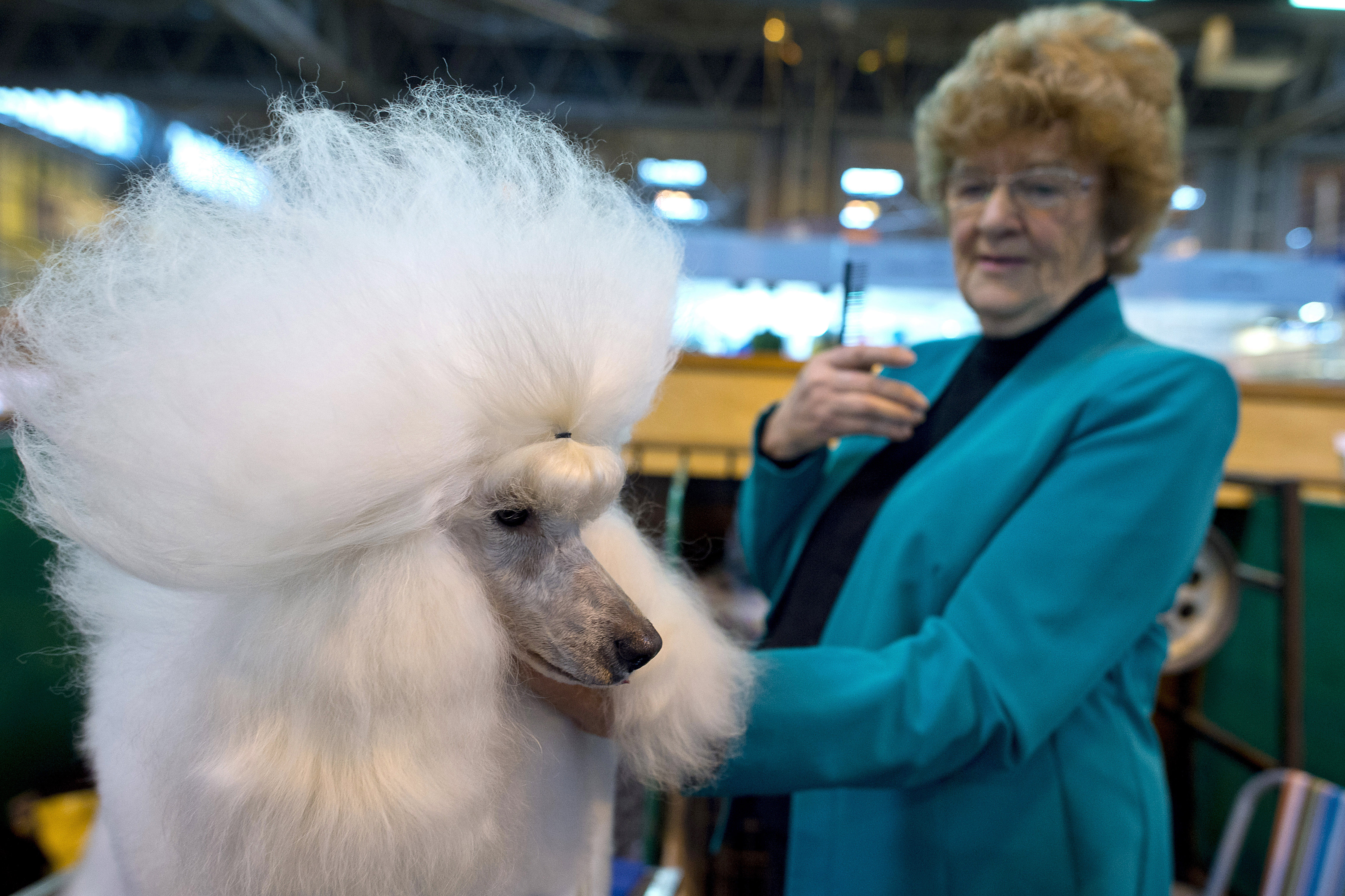 A poodle is groomed by its owner on the first day of Crufts Dog Show in Birmingham, England, on March 10, 2016.