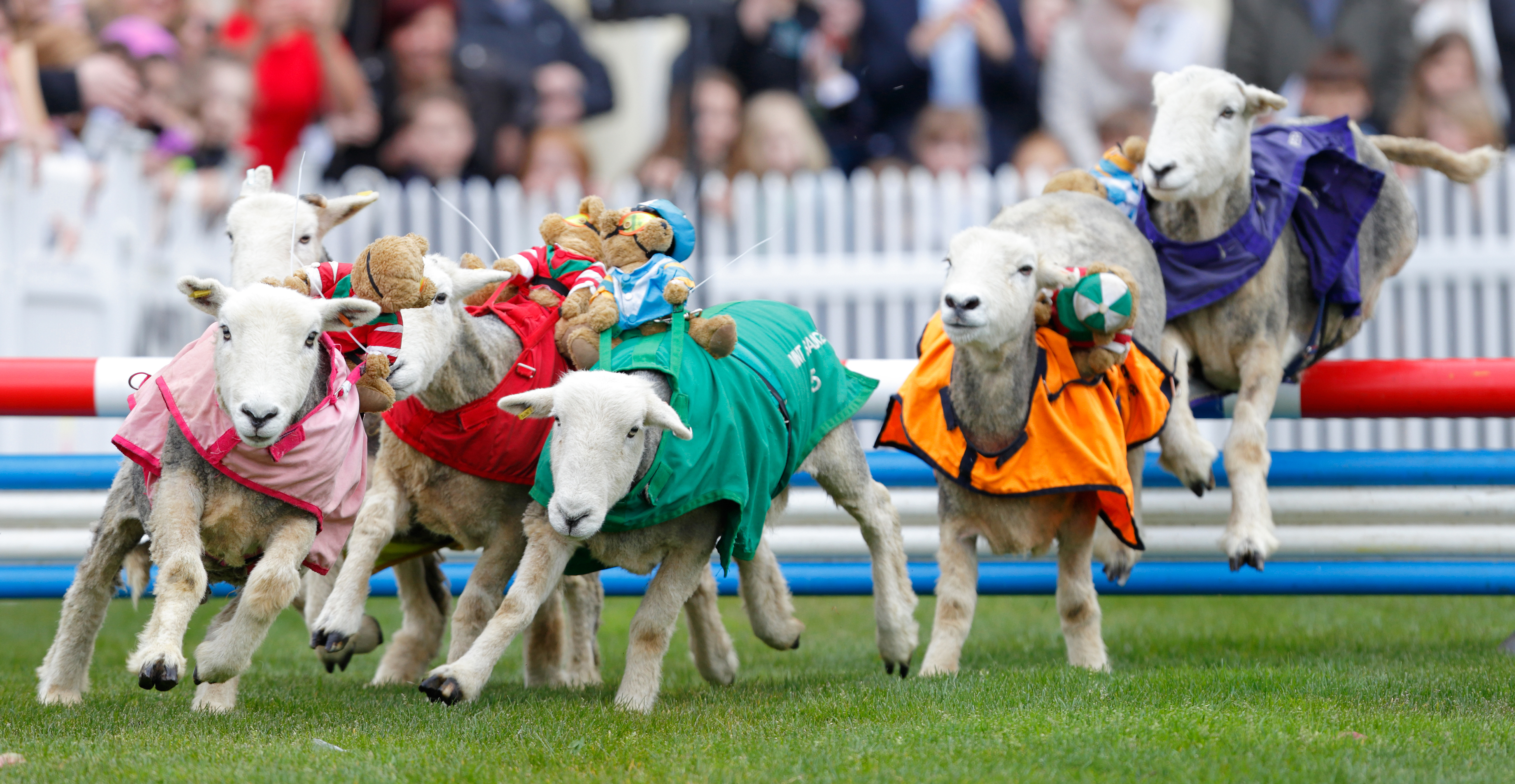 Sheep take part in the  Lamb National  race during the Prince's Countryside Fund Raceday at Ascot Racecourse in Ascot, England, on April 3, 2016.