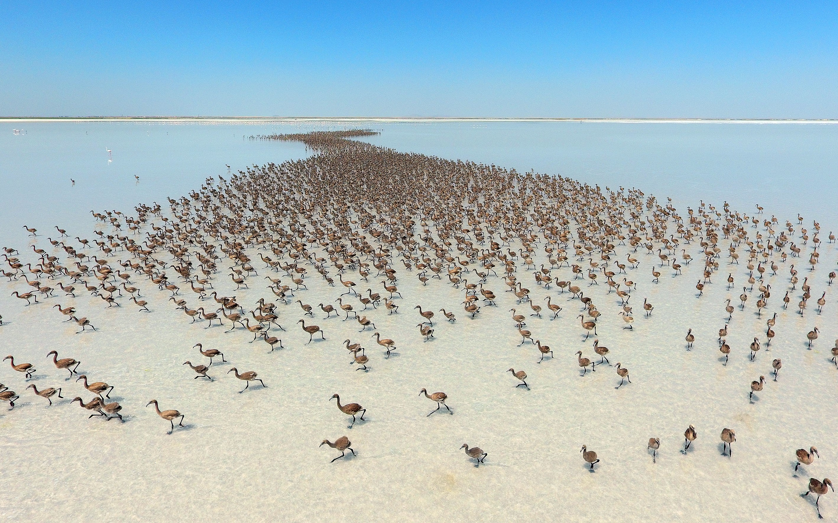 Flamingos migrate after thousands of flamingo chicks have emerged from their nests at Salt Lake, which is home to the biggest flamingo colony in Turkey and the Mediterranean basin, in Aksaray, Turkey, on June 28, 2016.