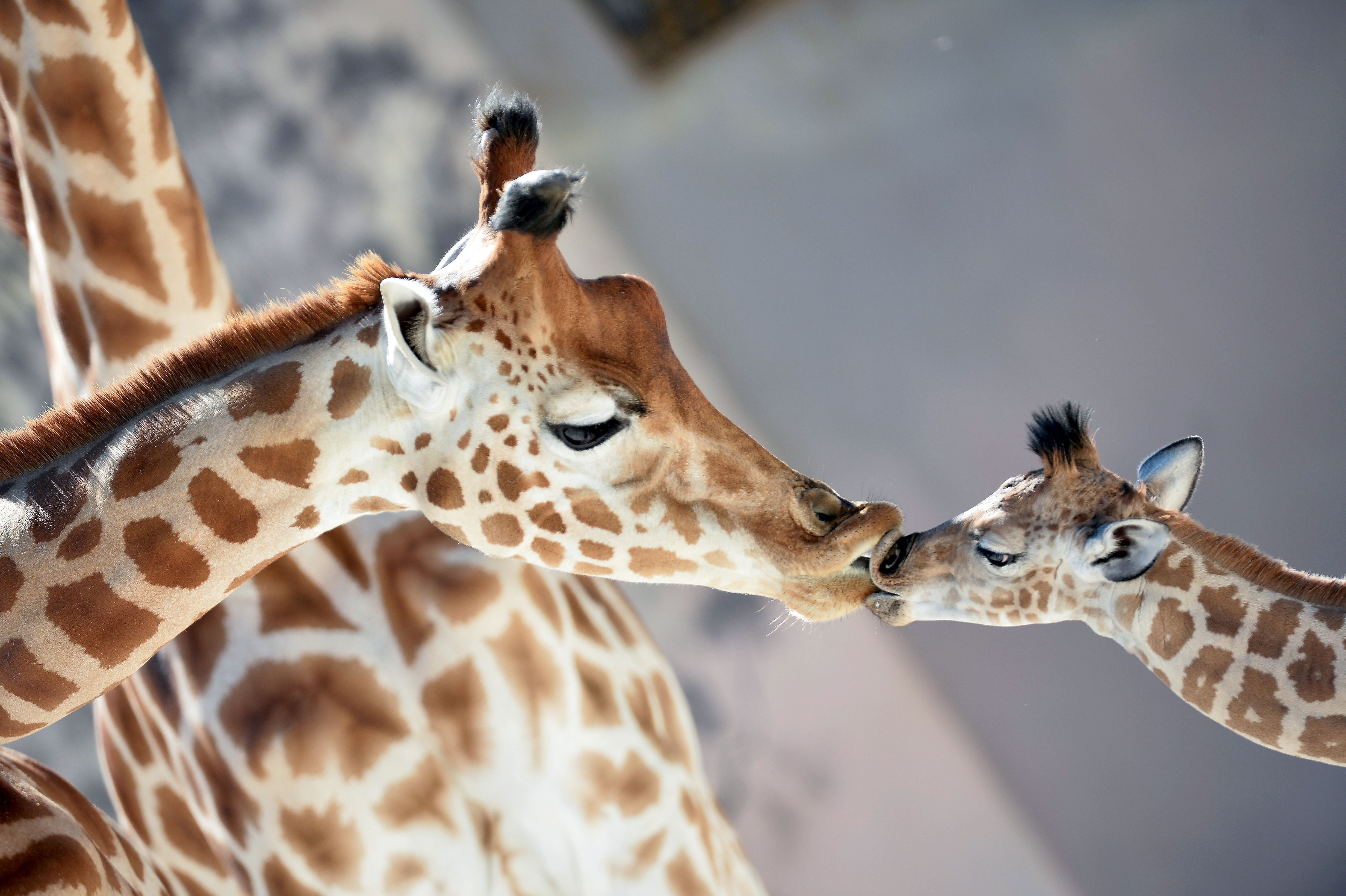 A baby giraffe of Niger named Kenai, right, born on Aug. 25, 2016, kisses his mother Dioni  at the zoo of La Fleche, France, on Aug. 31, 2016.