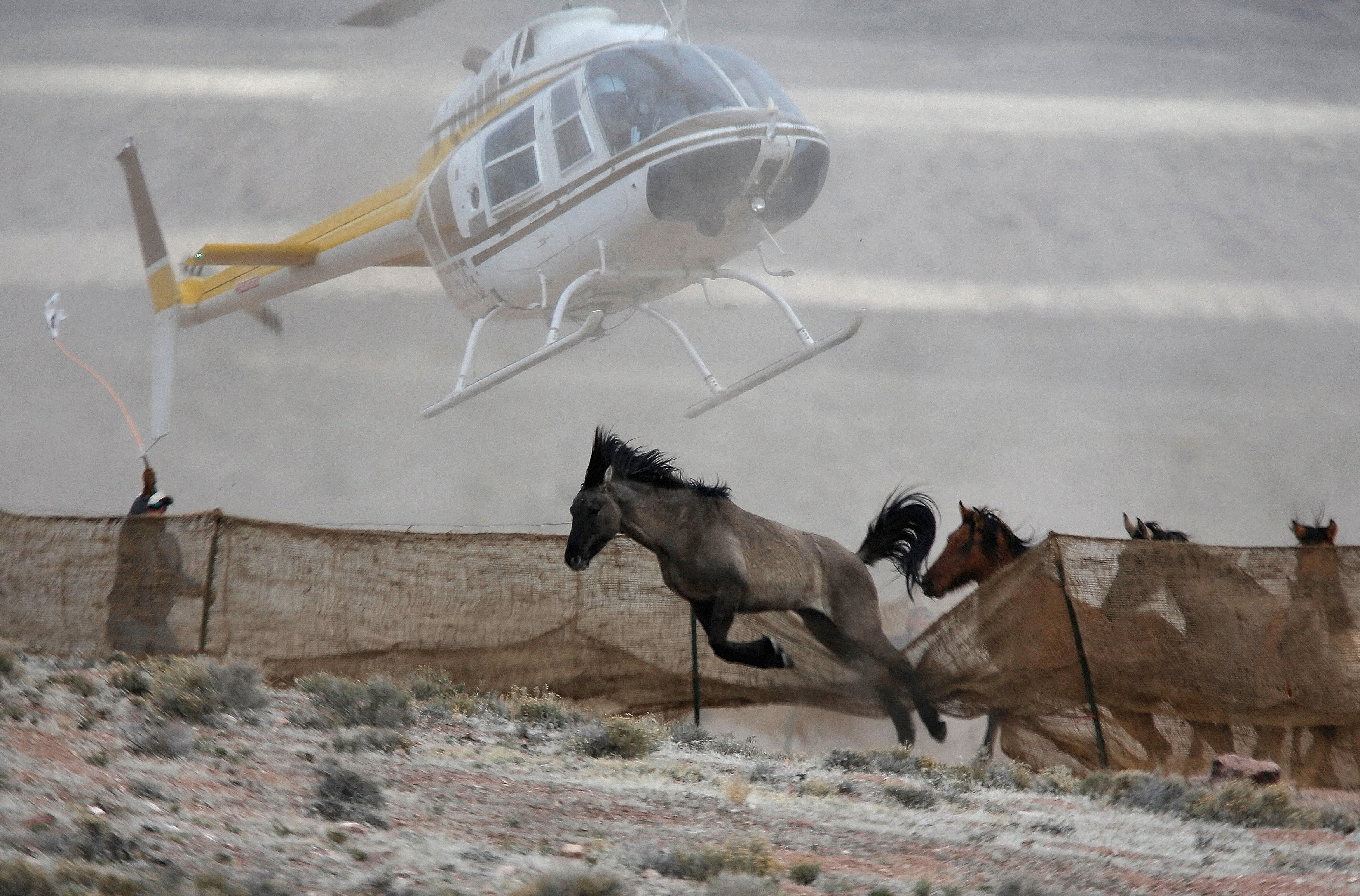 Several wild horses escape as a helicopter is used by the Bureau of Land Management to gather wild horses into a trap along Highway 21 near Garrison, Utah,  on Feb. 26, 2015.
