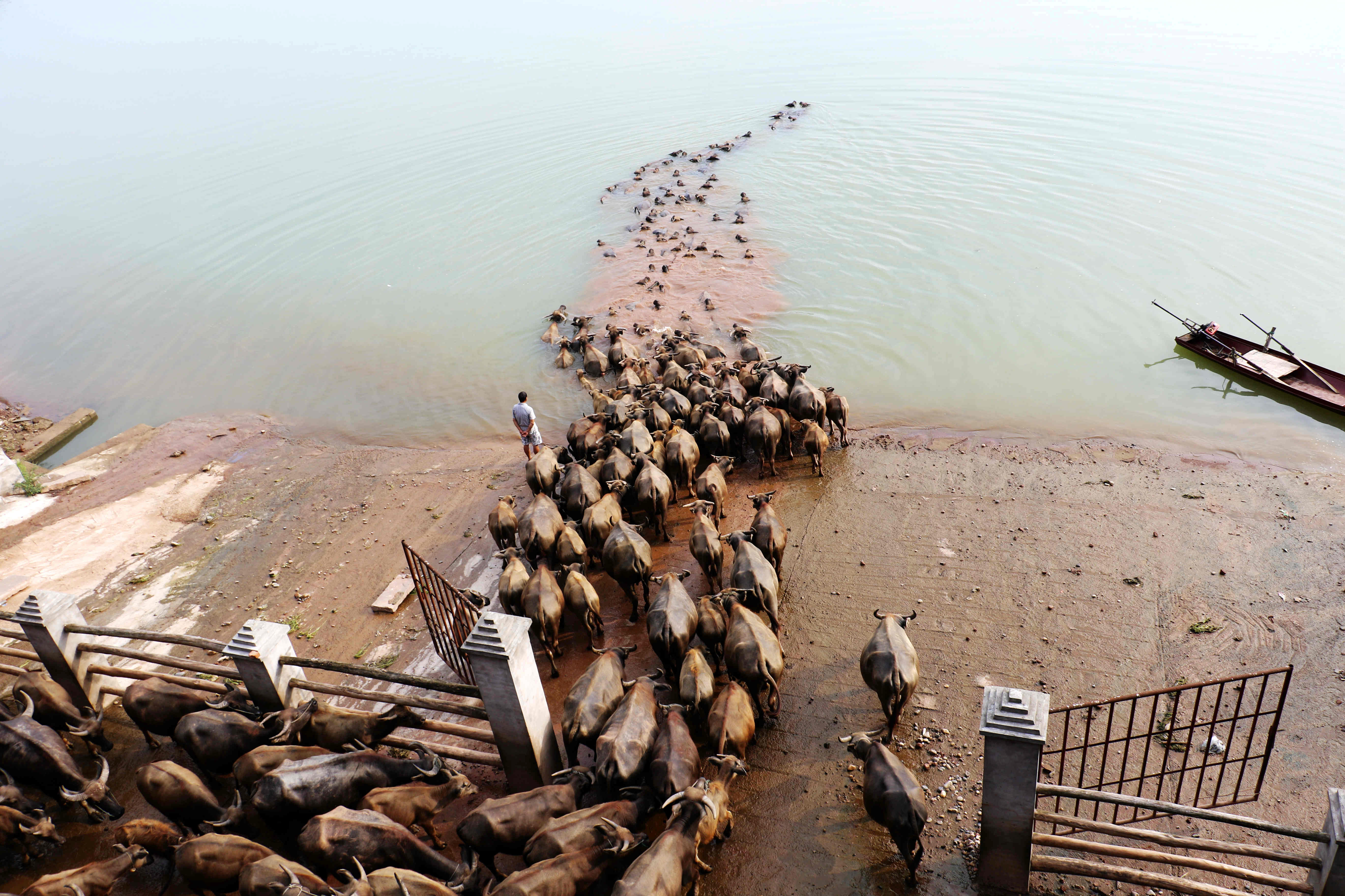 A man watches buffalos cross a river as they head to another grazing area in Nanchong, China, on Aug. 10, 2016.