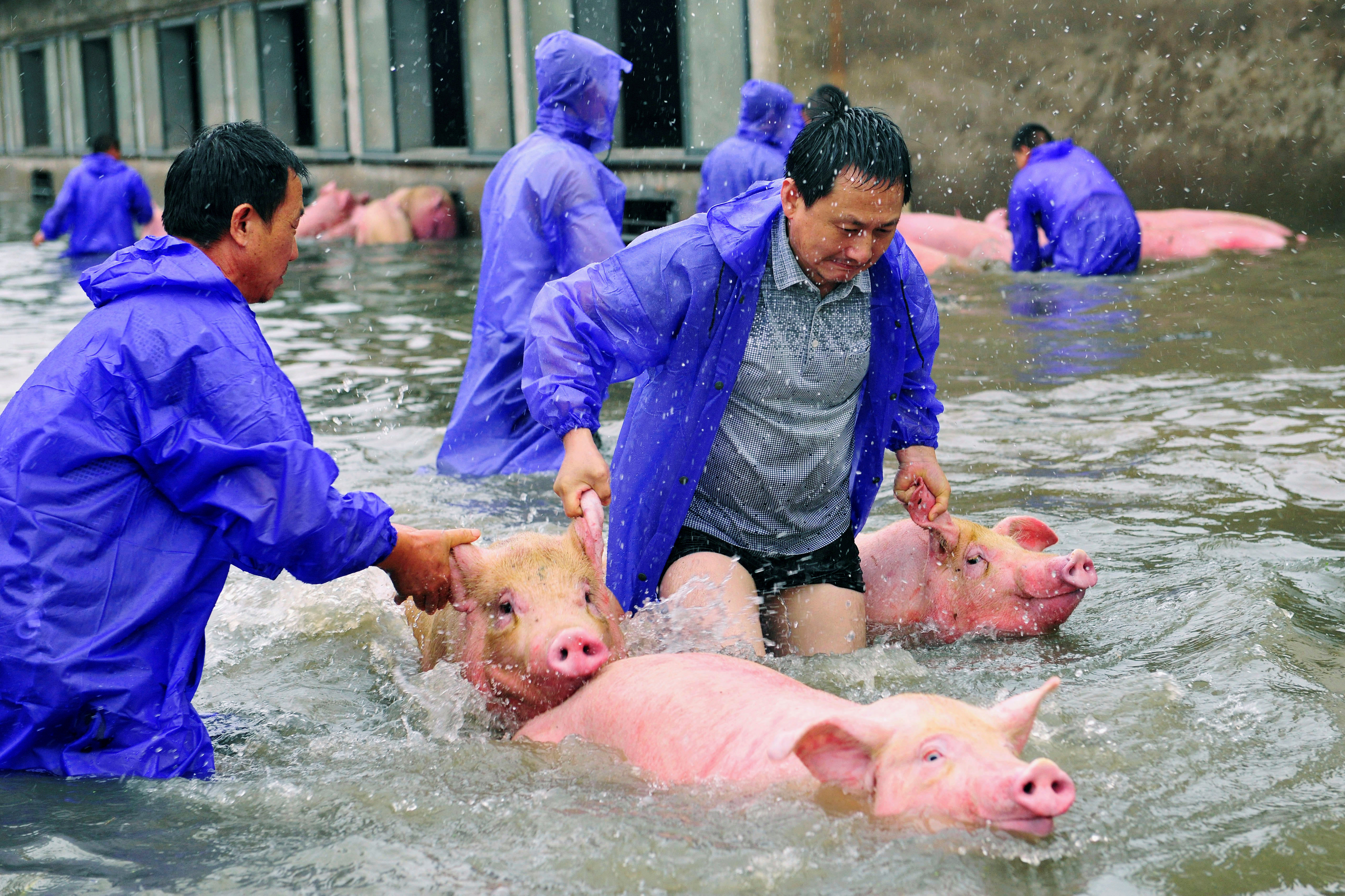 Employees save pigs from a flooded farm in Lu'an, Anhui Province, China, on July 5, 2016.