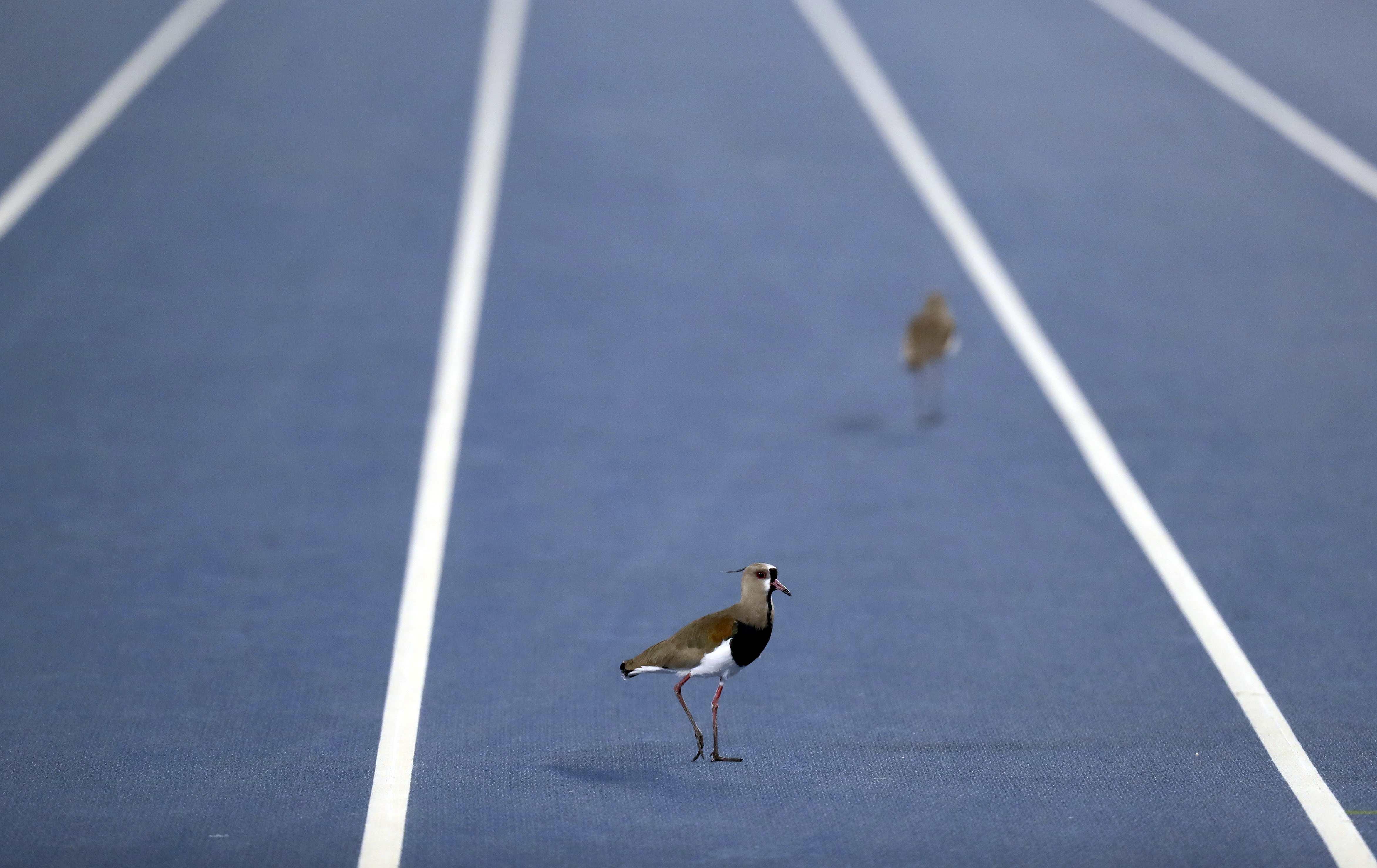 Birds on a track during the 2016 Rio Olympics, Men's High Jump Final in Rio de Janeiro, Brazil, on Aug. 16, 2016.