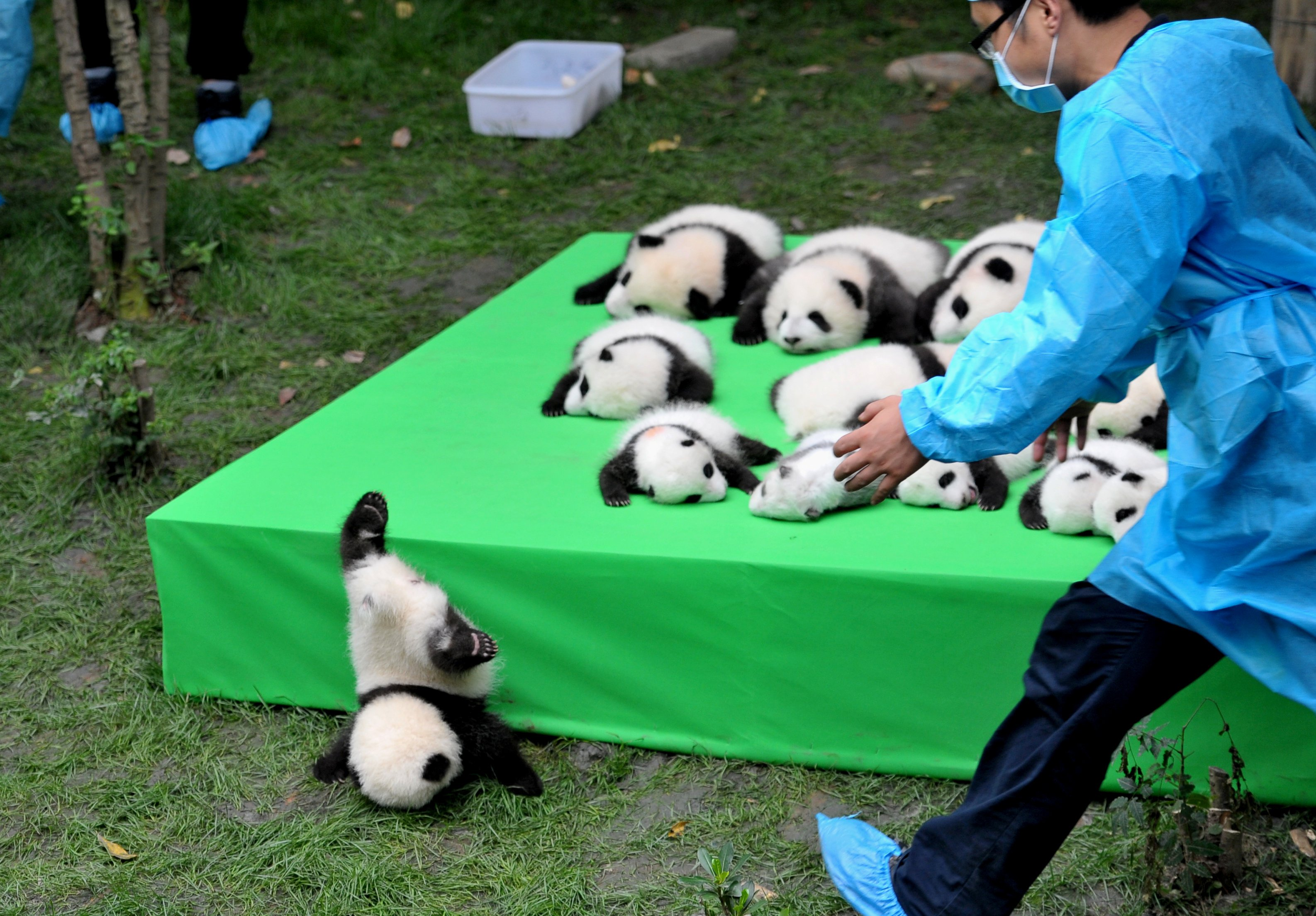 A giant panda cub falls from a stage while 23 giant pandas born in 2016 are seen on a display at the Chengdu Research Base of Giant Panda Breeding in Chengdu, China, on Sept. 29, 2016.
