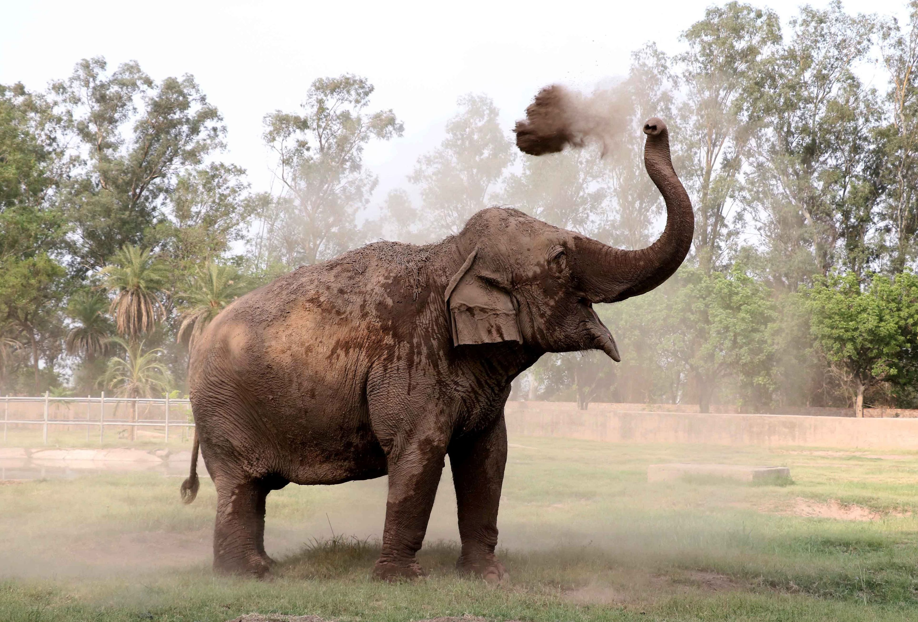 An Indian elephant takes a dust bath amid rising temperatures at Zirakpur Chattbira Zoo, near Chandigarh, India, on April 18, 2016.