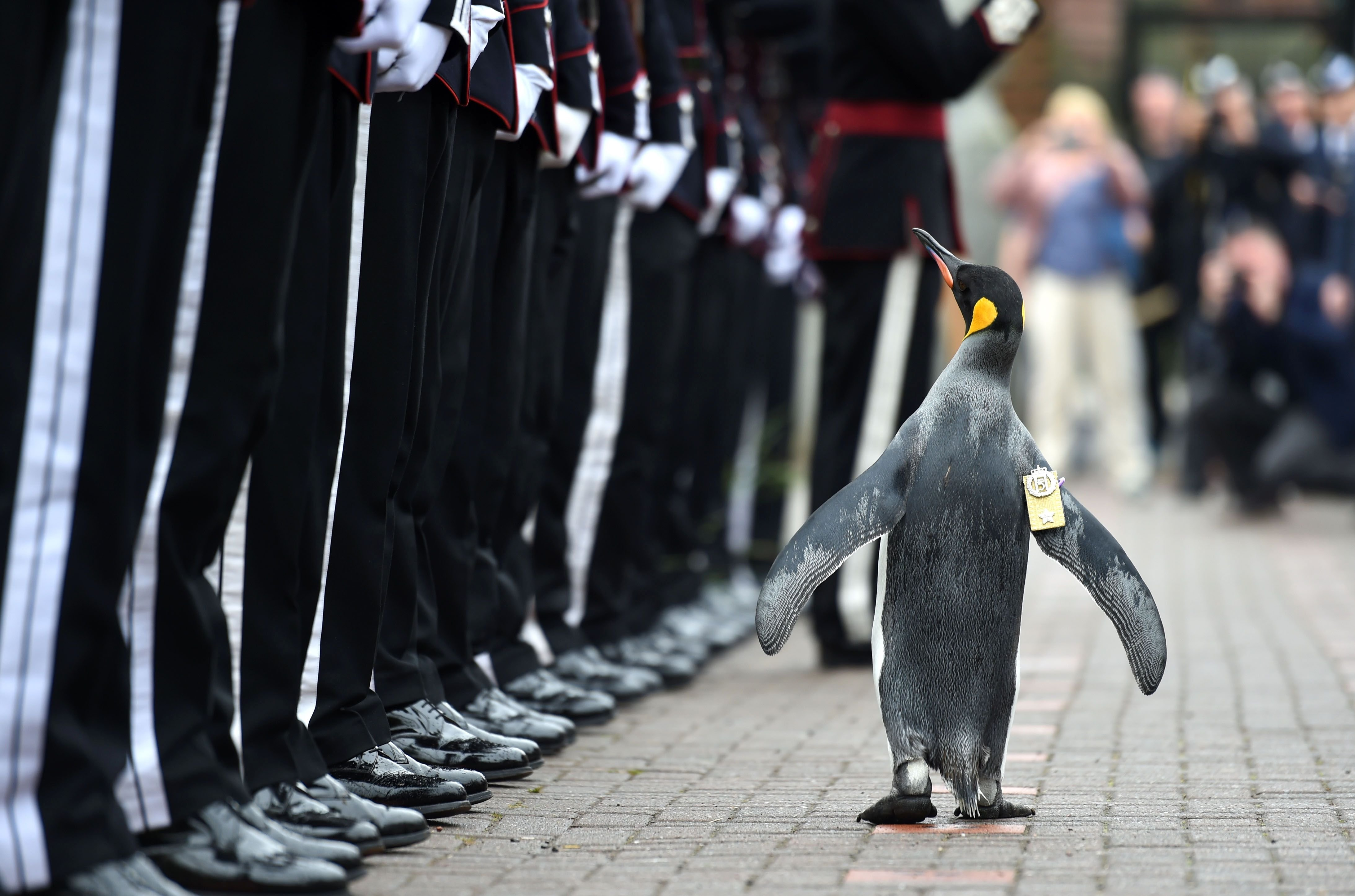 A penguin named Nils Olav inspects the Guard of Honour formed by His Majesty the King of Norway's Guard at Edinburgh Zoo in Edinburgh, Scotland, on Aug. 22, 2016.