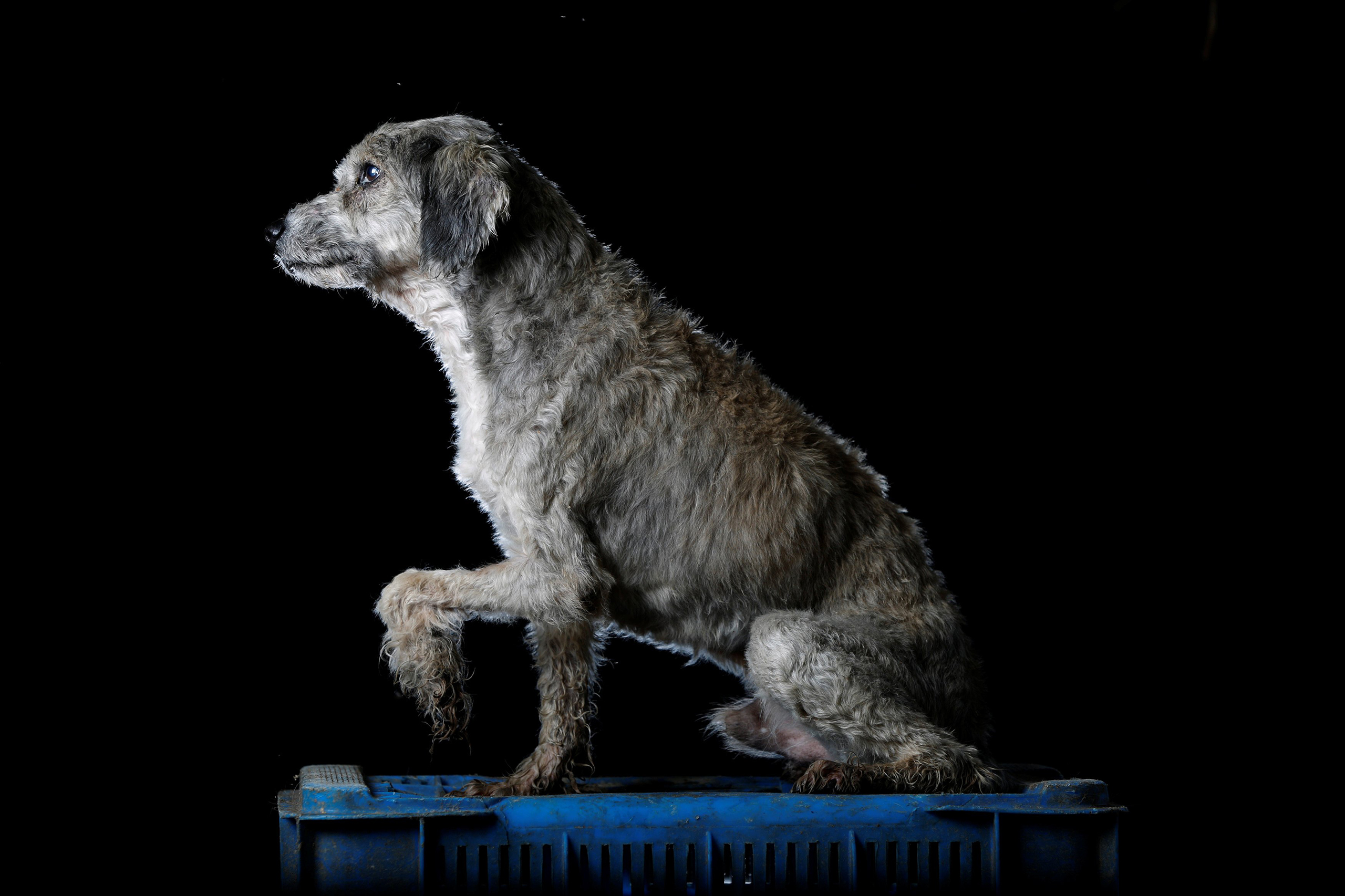 Petete is pictured at the Famproa dogs shelter in Los Teques, Venezuela Aug. 16, 2016. Petete has spent over eight years in the shelter.  When the dog arrived, he had worms and sores on a leg. It was hard to heal and even when it did, his leg never fully functioned again. He is loving, but only until it is meal time, because then he fights with everyone and bites anyone who comes close,  said Maria Silva, who takes care of dogs at the shelter.