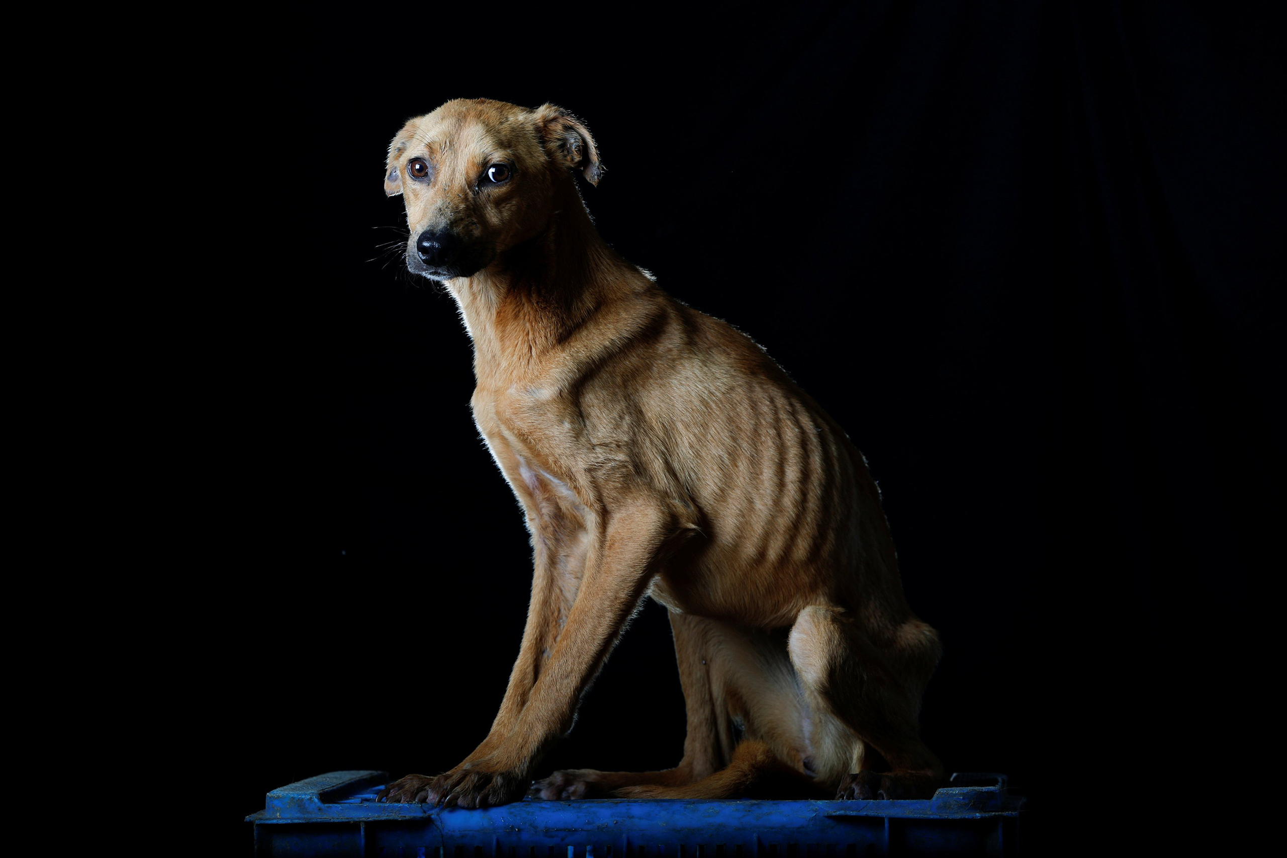 Sonrisa is pictured at the Famproa dogs shelter in Los Teques, Venezuela Aug. 16, 2016.  Sonrisa (smile), was given that name, because when someone approached her, she was frightened as if she were being beaten, but showing her teeth as if were smiling,  said Maria Silva, who takes care of dogs at the shelter. Sonrisa died the week after the photo was taken.
