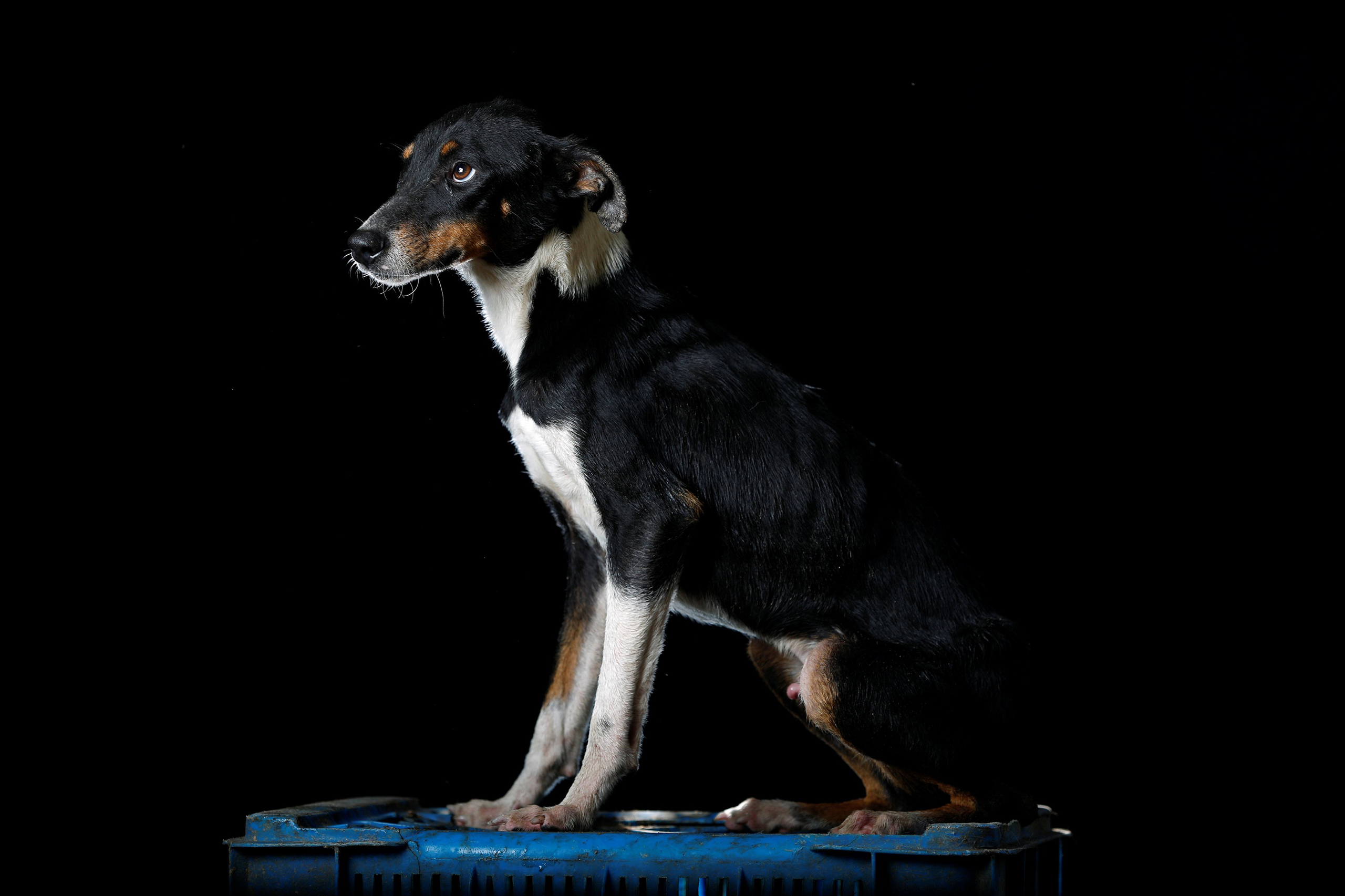 Lucho is pictured at the Famproa dogs shelter in Los Teques, Venezuela Aug. 16, 2016.  Someone left him with his three brothers in a cardboard box outside the shelter a year and a half ago. Two of them died and one was adopted by a family. He is a favorite at the shelter but he is an escape artist, he has the ability to get out of anywhere,  said Maria Silva, who takes care of dogs at the shelter.