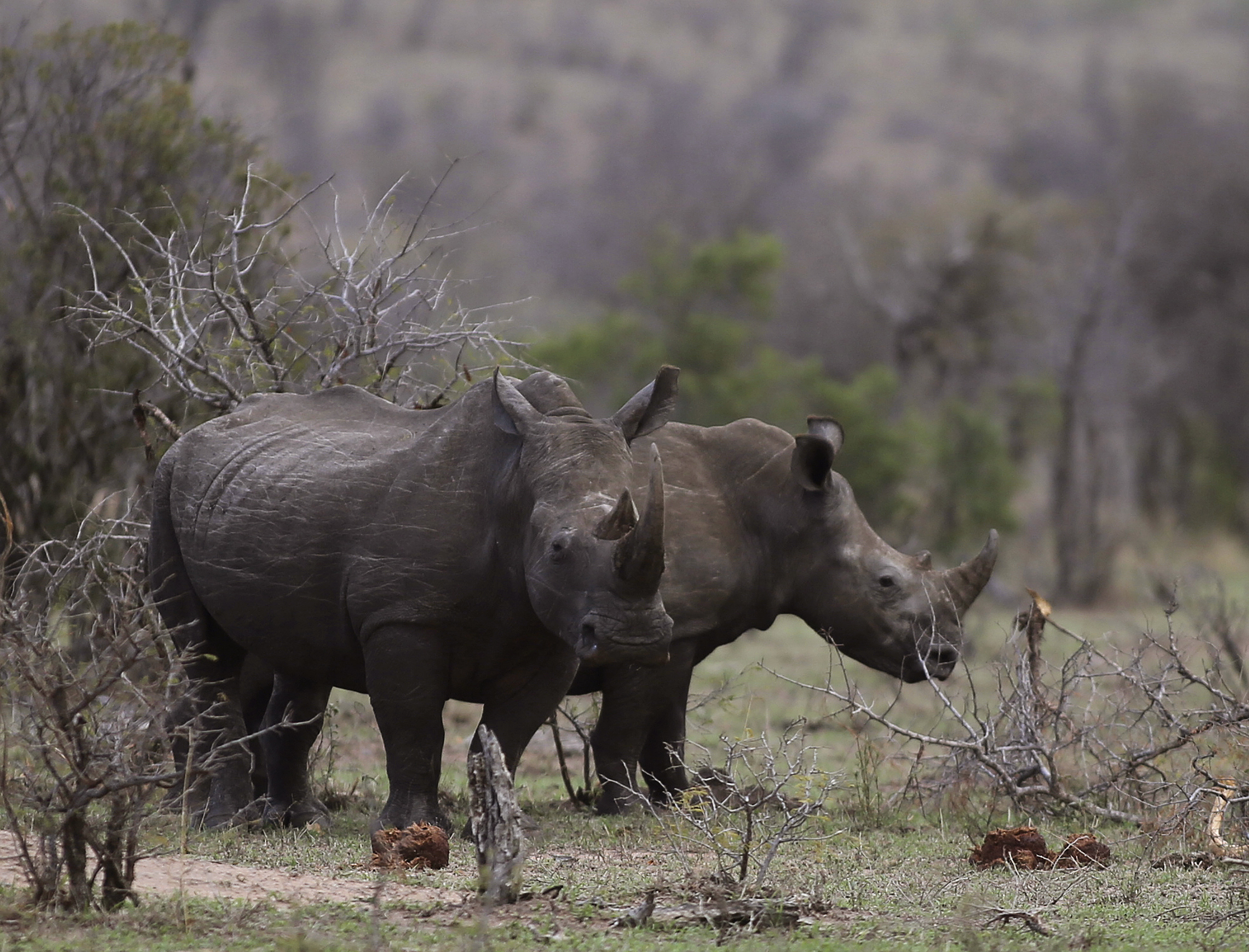 Rhinos graze in the bush on the edge of Kruger National Park in South Africa on Oct. 1, 2016