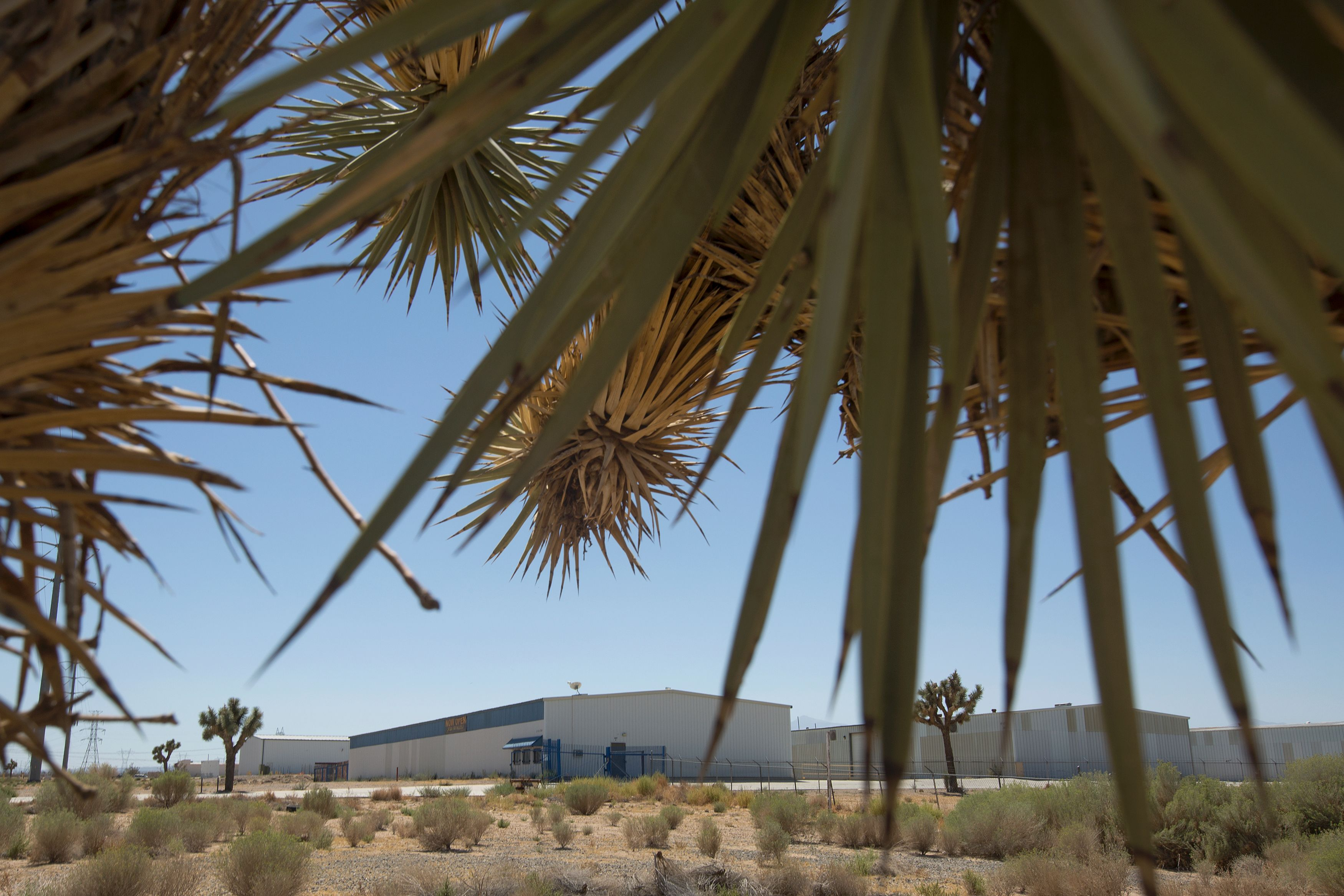 Buildings at the site of a future marijuana farm are framed by the branches of a Joshua tree in the  green zone,  an area designated by the city for the development of industrial scale marijuana cultivation, on Sept. 6, 2016 in Adelanto, Calif.