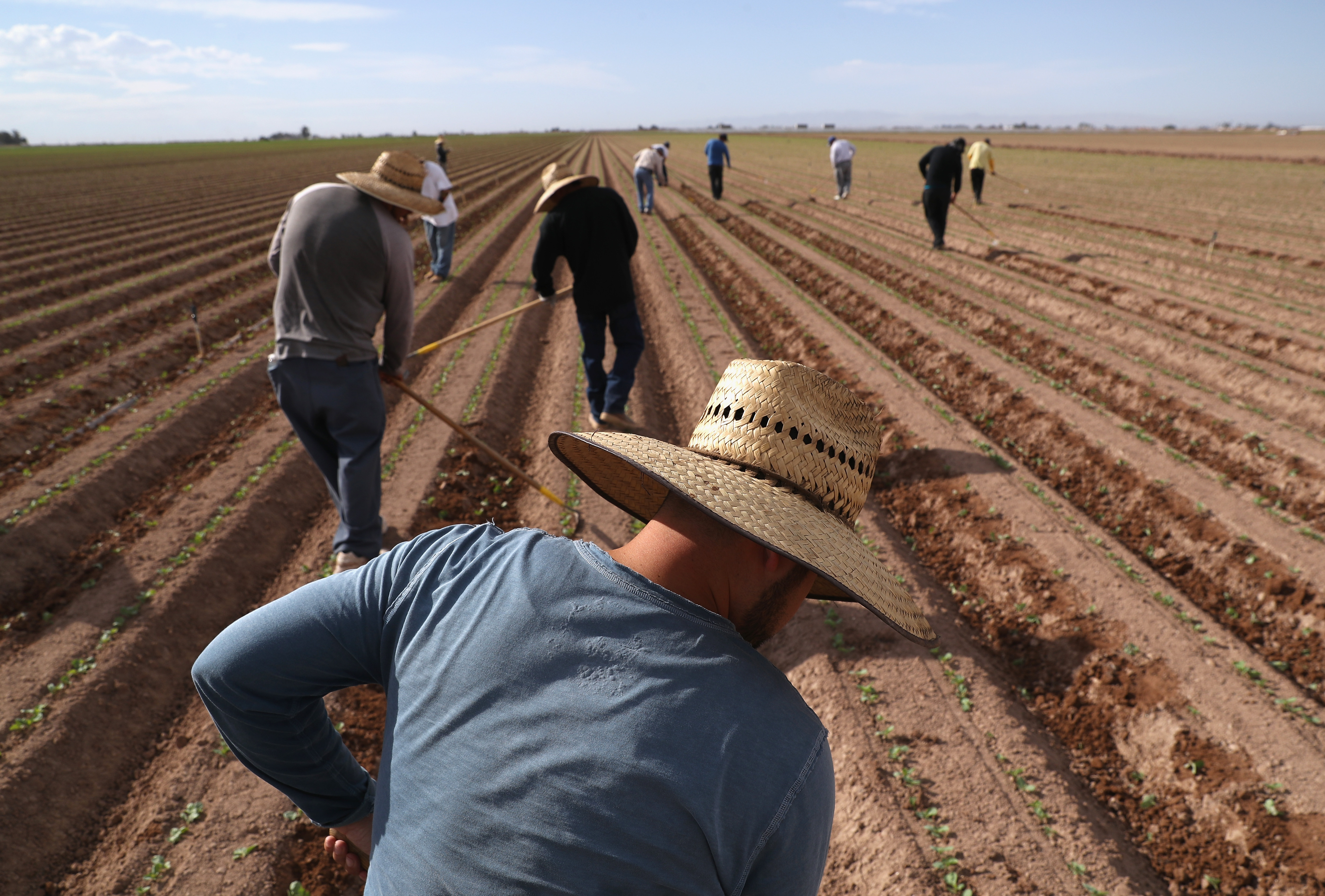 Mexican farm workers hoe a cabbage field on Sept. 27, 2016, in Holtville, Calif. Thousands of Mexican seasonal workers legally cross over daily from Mexicali, Mexico to work the fields of Imperial Valley, Calif., which is some of the most productive farmland in the United States.