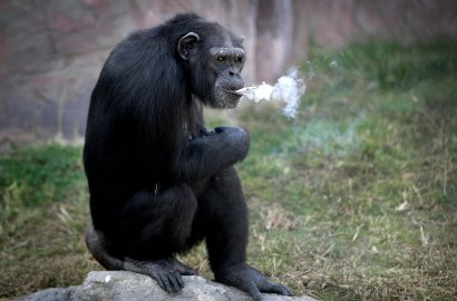 "Azalea, a 19-year-old female chimpanzee whose Korean name is ""Dallae,"" smokes a cigarette in her enclosure at the Central Zoo in Pyongyang, North Korea, on Oct. 19, 2016. According to officials at the newly renovated zoo, which has become a favorite leisure spot in the capital since it was re-opened in July, the chimpanzee smokes about a pack a day. They insist, however, that she does not inhale."