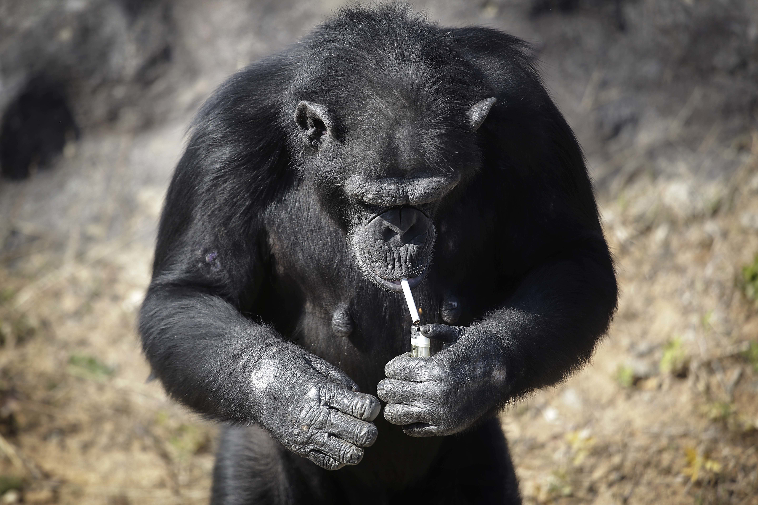 Azalea, a 19-year-old female chimpanzee whose Korean name is  Dallae,  lights a cigarette in her enclosure at the Central Zoo in Pyongyang, North Korea, on Oct. 19, 2016.
