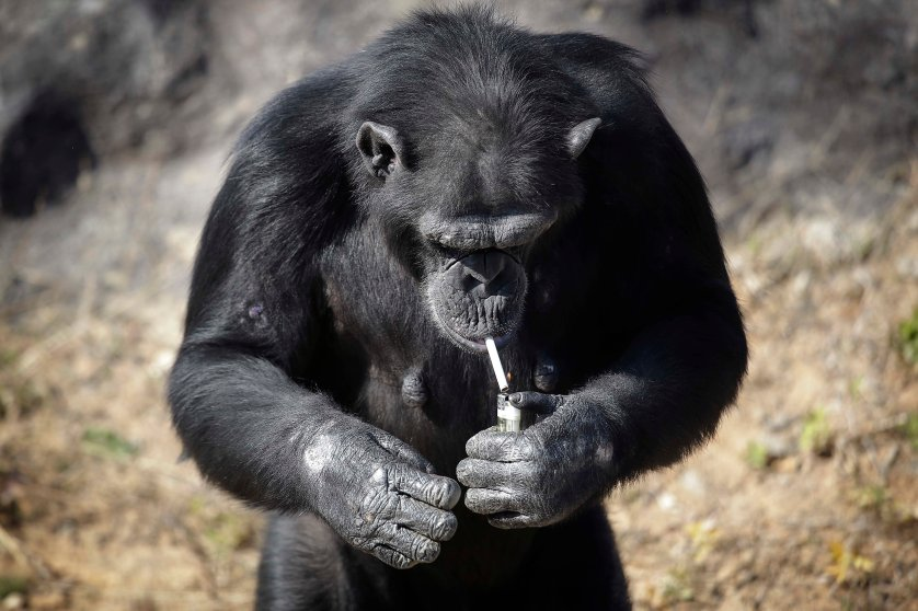 "Azalea, a 19-year-old female chimpanzee whose Korean name is ""Dallae,"" lights a cigarette in her enclosure at the Central Zoo in Pyongyang, North Korea, on Oct. 19, 2016."