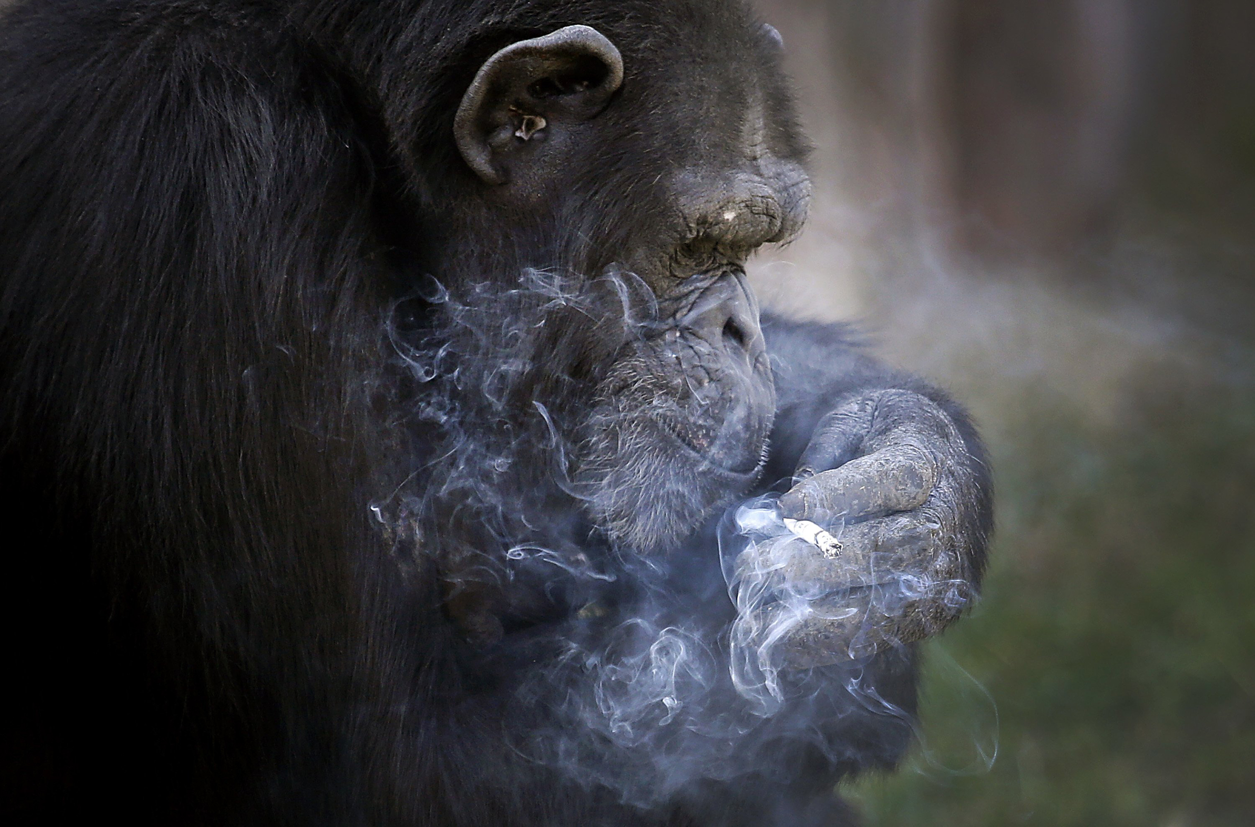 Azalea, a 19-year-old female chimpanzee whose Korean name is  Dallae,  smokes a cigarette in her enclosure at the Central Zoo in Pyongyang, North Korea, on Oct. 19, 2016.