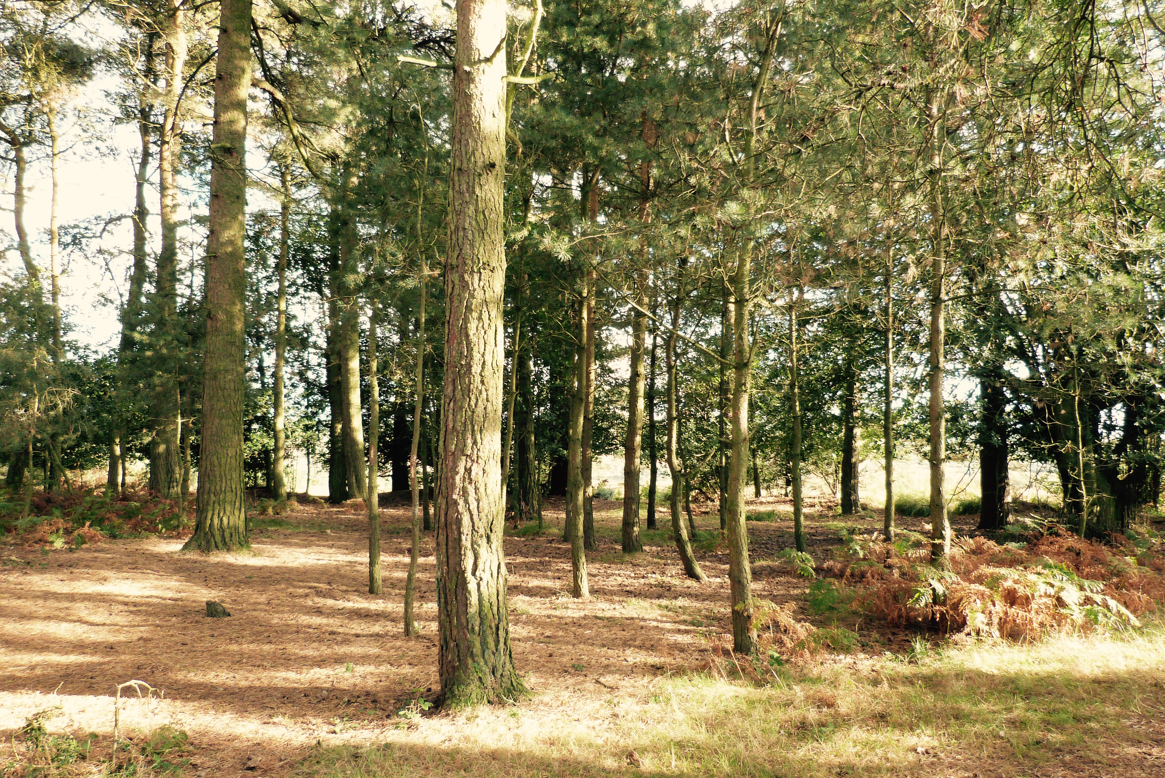 A view inside Ashdown Forest on Oct. 10 2016, which inspired A. A. Milne's Enchanted Forest in Winnie the Pooh. Christopher Robin believes it to be enchanted because no one can count whether there are 63 or 64 trees.