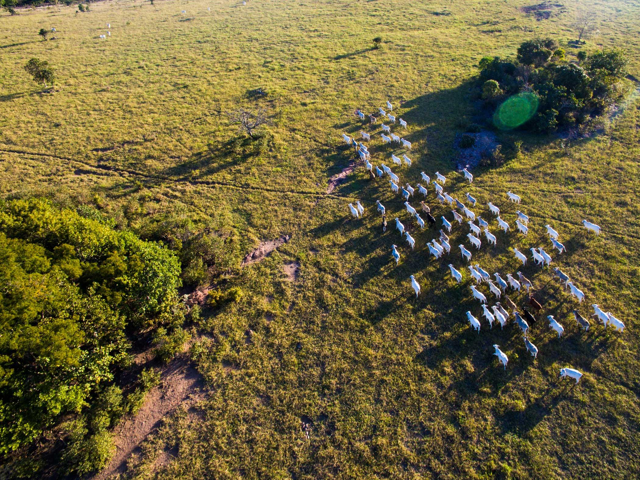 A herd in the Pantanal in Taboco, Brazil.