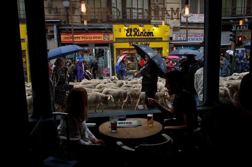 Sheep Invade Madrid During Celebration Of Seasonal Livestock Migration