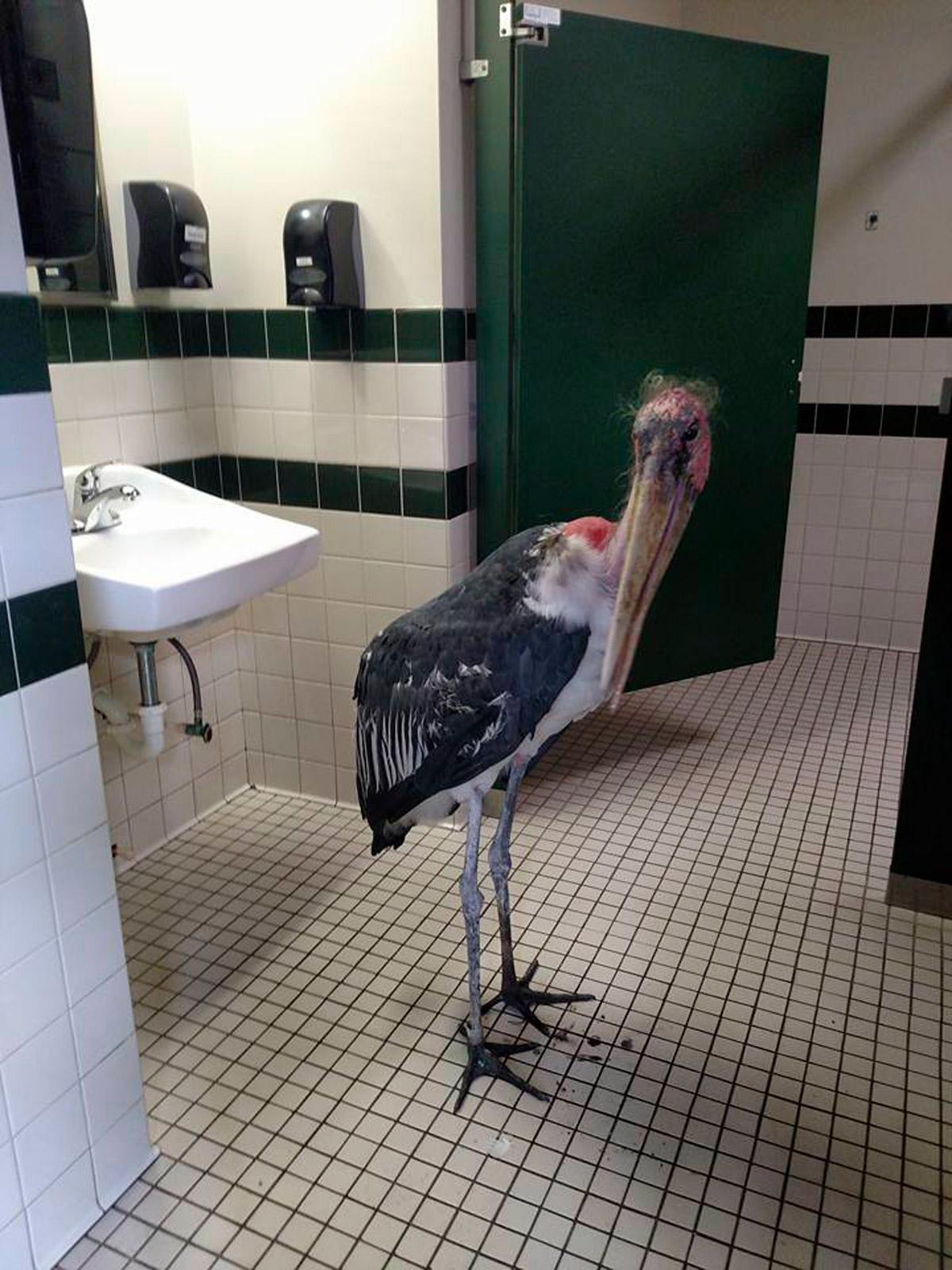 A marabou stork in a restroom at the St. Augustine Alligator Farm and Zoological Park on Oct. 6, 2016.