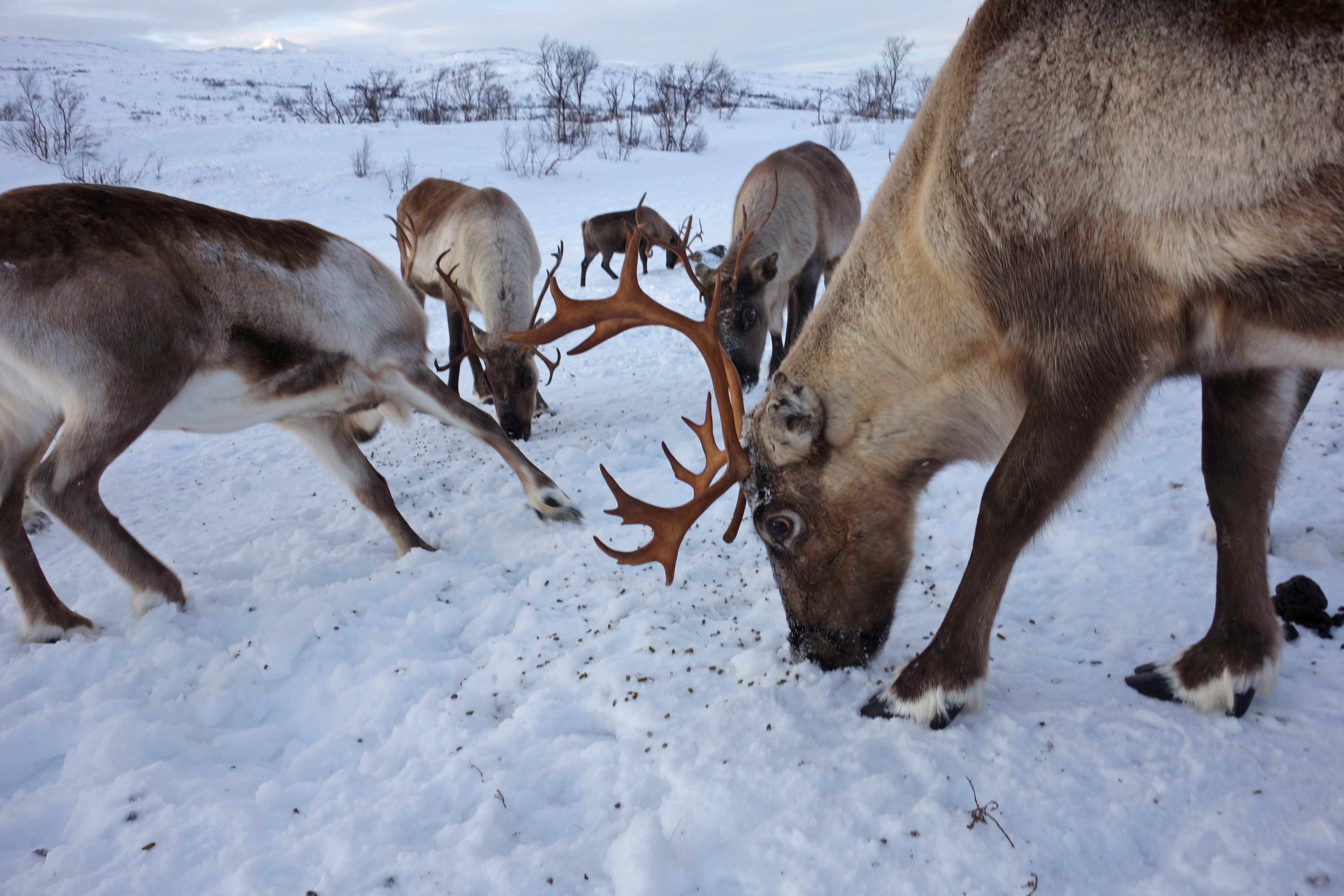 A new study carried out in Arctic Russia has indicated a link between decreasing levels of ice cover caused by rising temperatures and the starvation of thousands of reindeer.