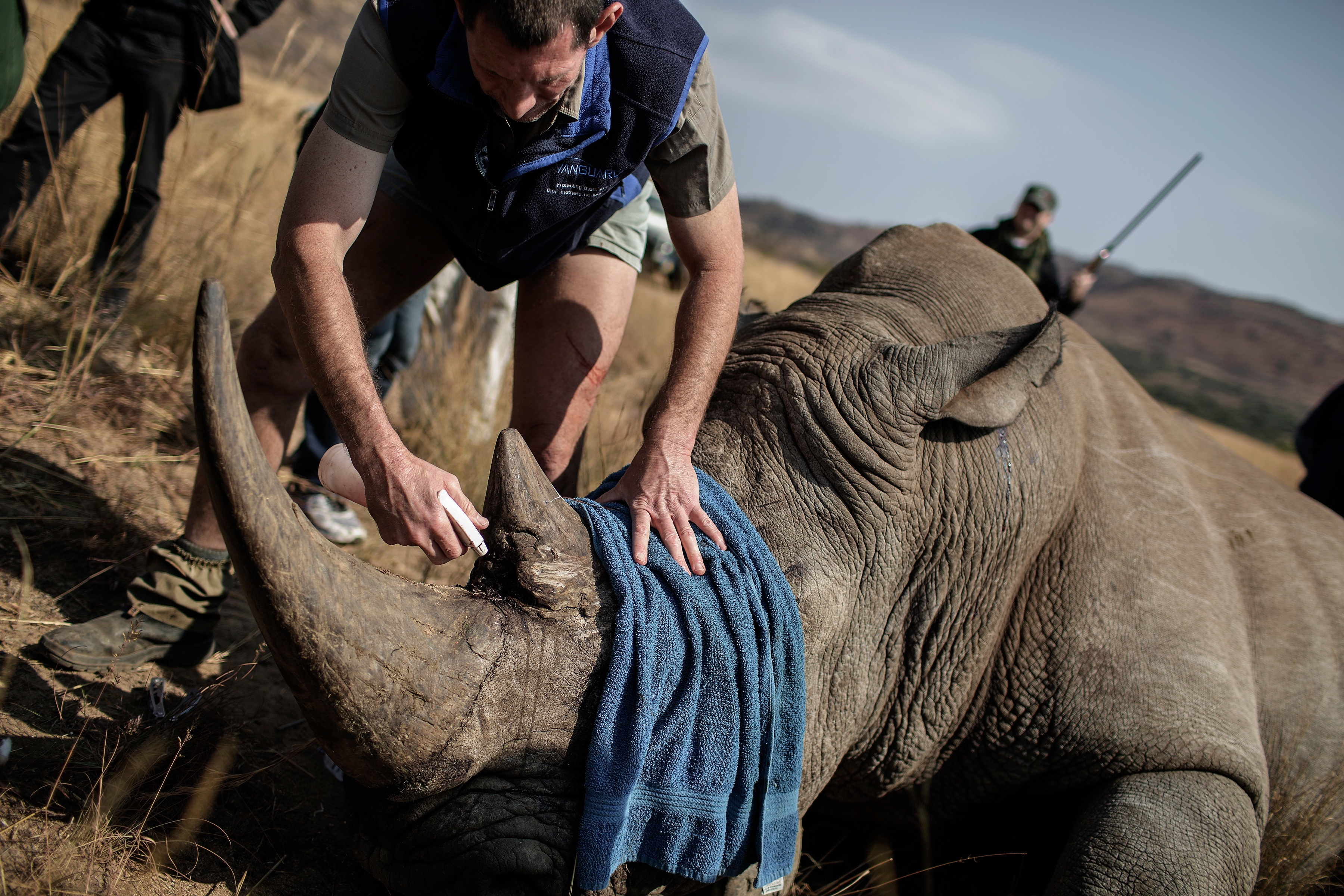 A vet attends to a tranquilized rhino, which will be microchipped during an operation on Sept. 19, 2016, at the Pilanesberg National Park in the North West province, in South Africa. Rhino populations are threatened by poaching to feed China's voracious demand for rhino horn