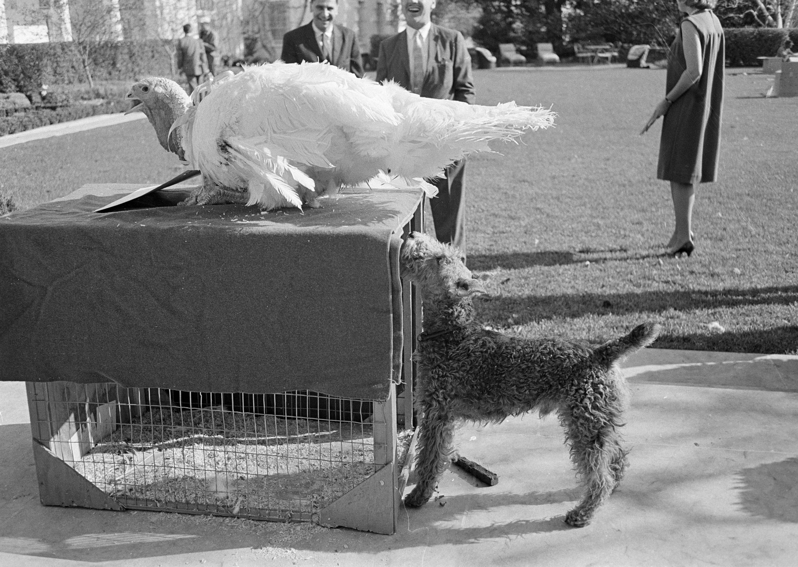 Charlie, Caroline Kennedy's pet Welsh terrier, inspects a turkey presented to President Kennedy after a traditional Thanksgiving week ceremony at the White House, on Nov. 19, 1963.