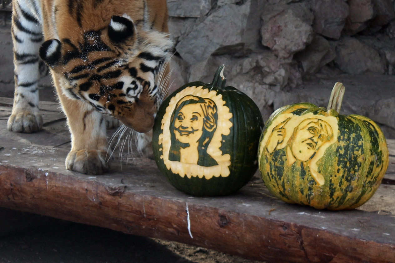 Felix the polar bear and Yunona the Amur tigress at the Royev Ruchei Zoo in Krasnoayrsk predicted the results of the election on Nov. 7, 2106.